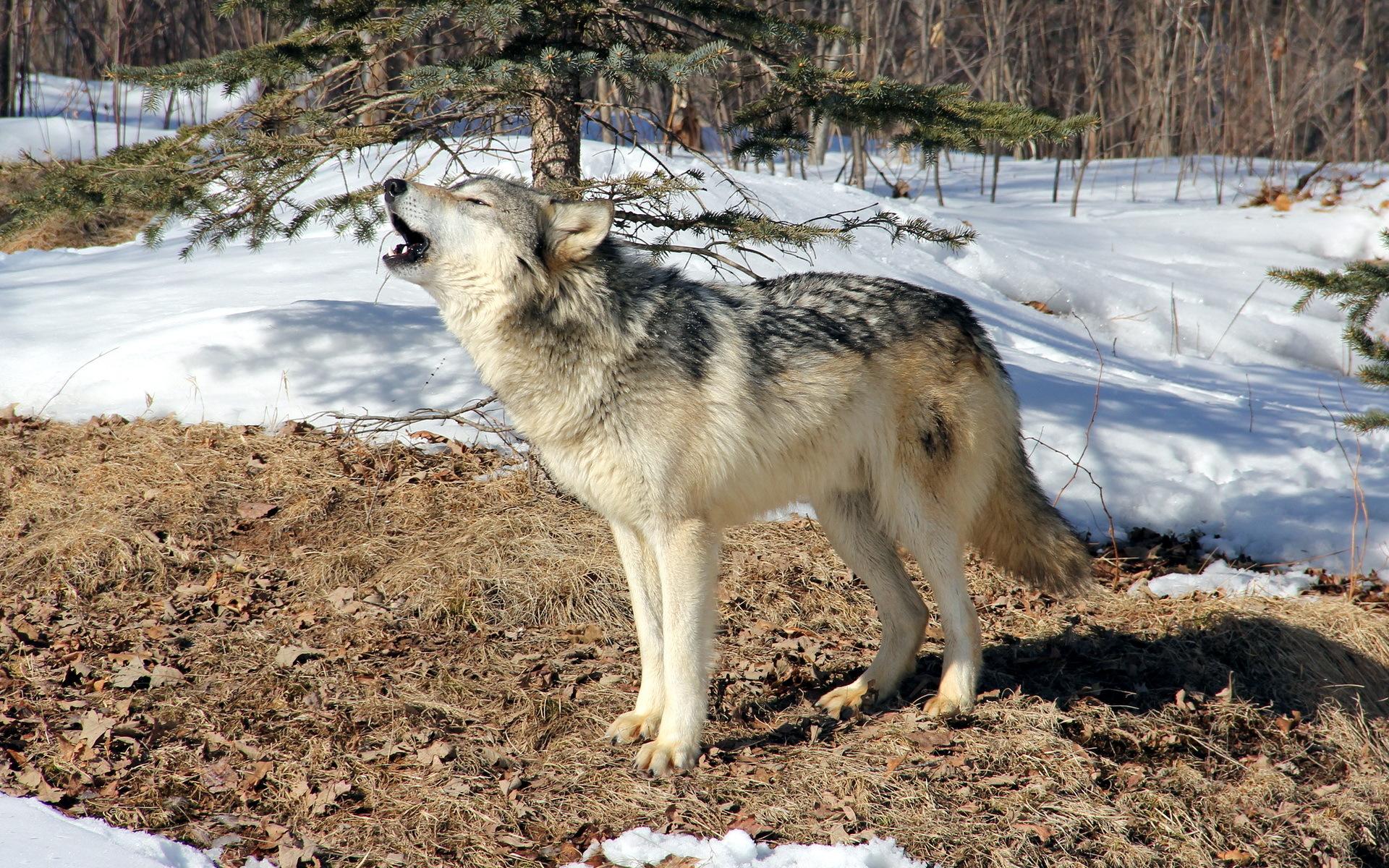 пары волк в зимнем лесу фото оправдано создание внешнего