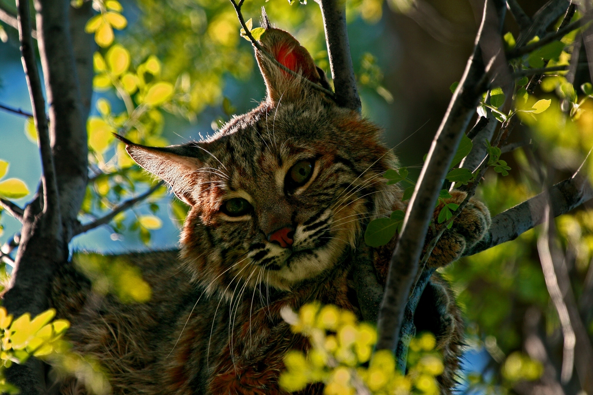 природа животные ветка деревья рысь nature animals branch trees lynx  № 560001 загрузить