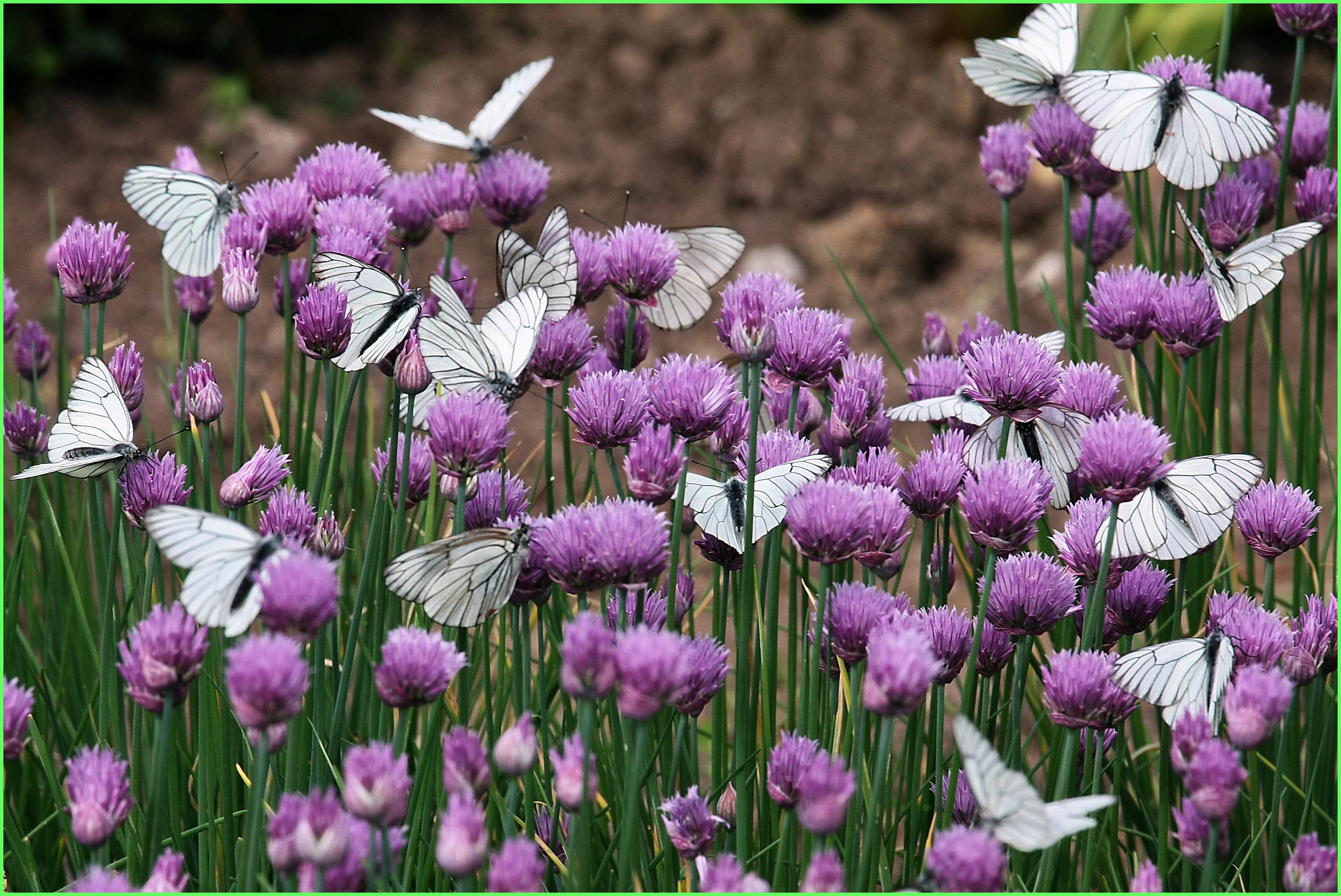 Цветы клевер  № 1341266  скачать