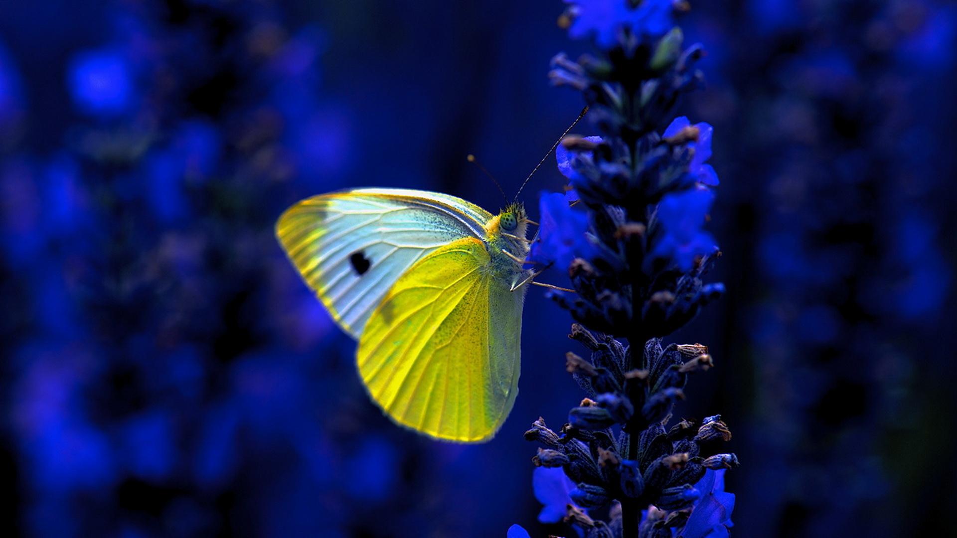 Бабочка голубая цветок макро скачать