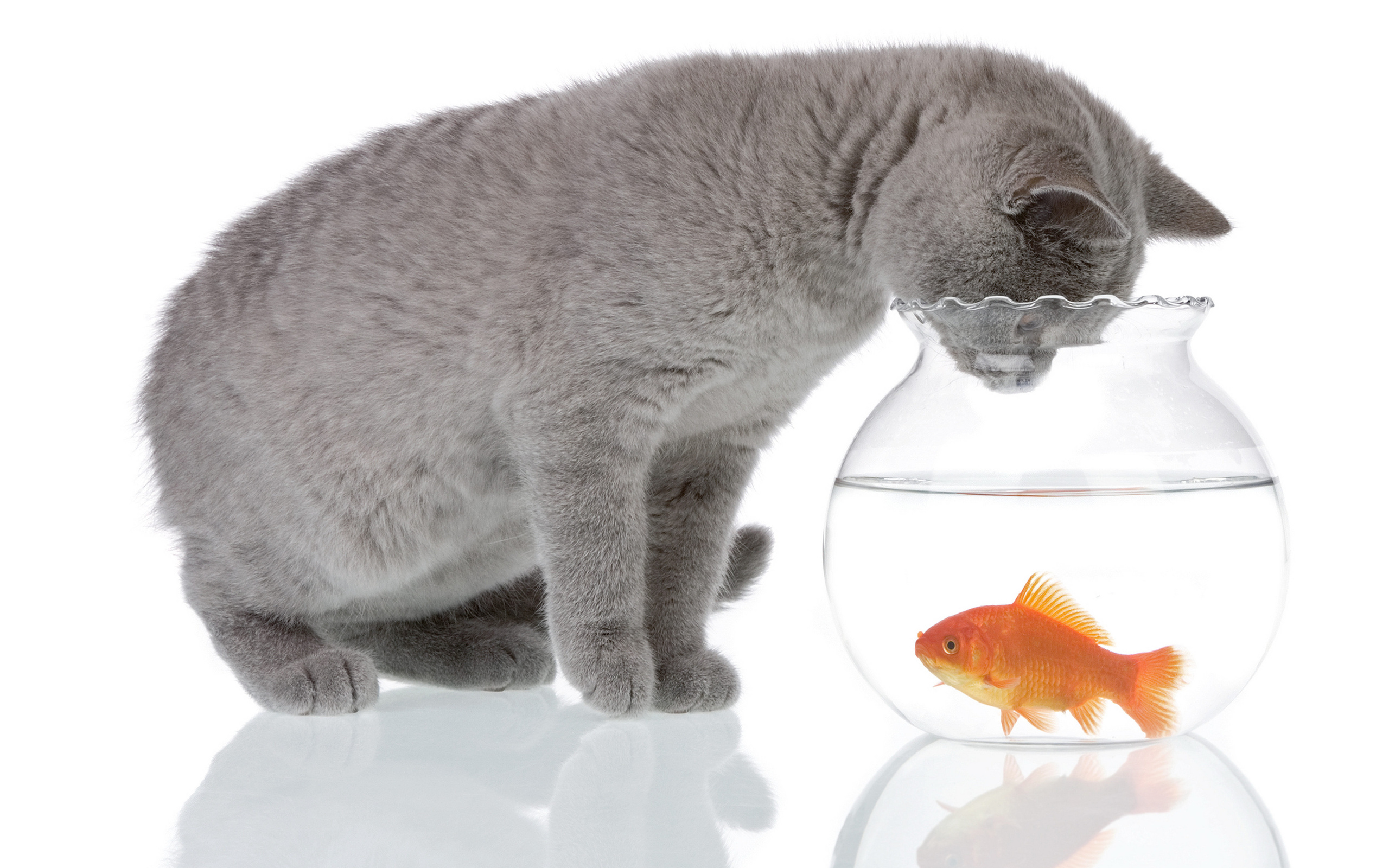 Черный котенок с золотой рыбкой  № 2955006 без смс