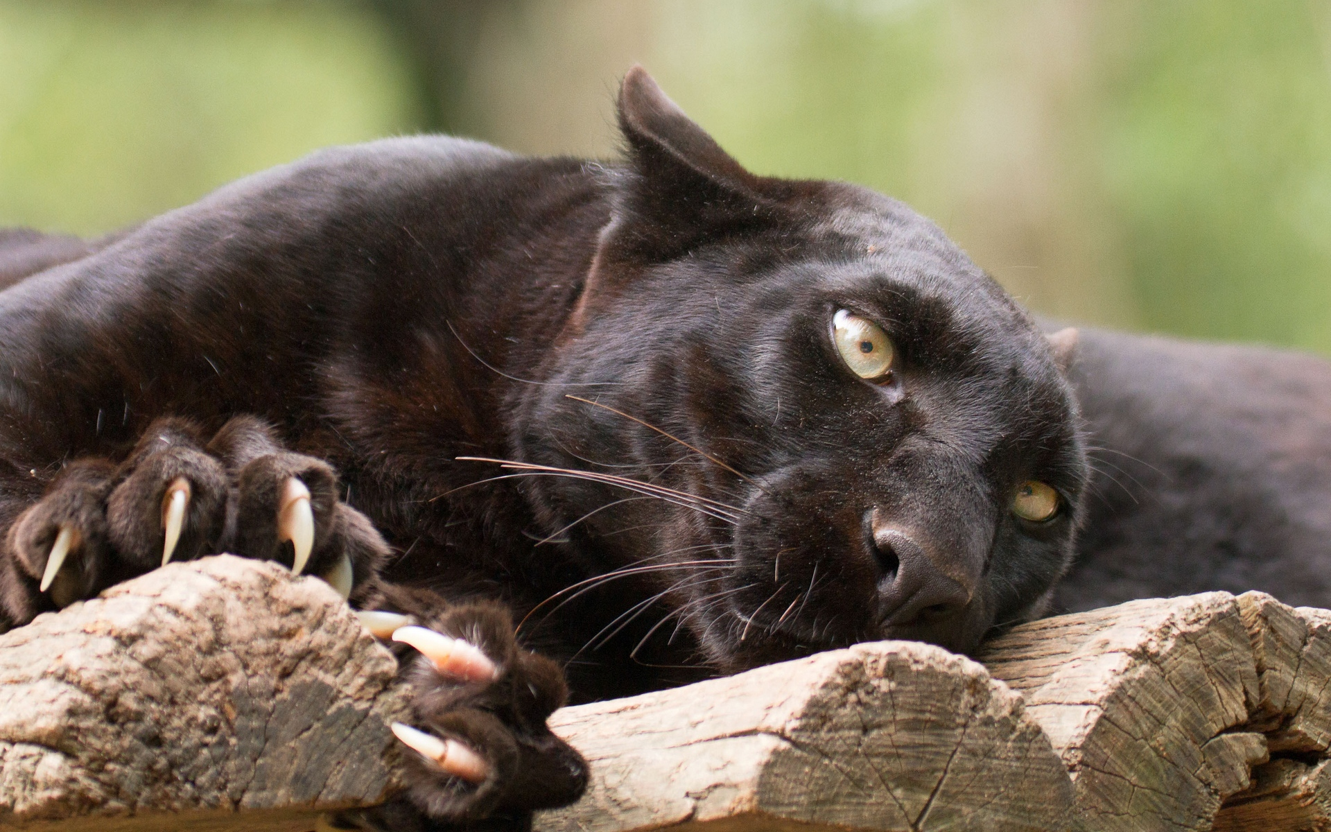 pictures-of-black-panther-leaping