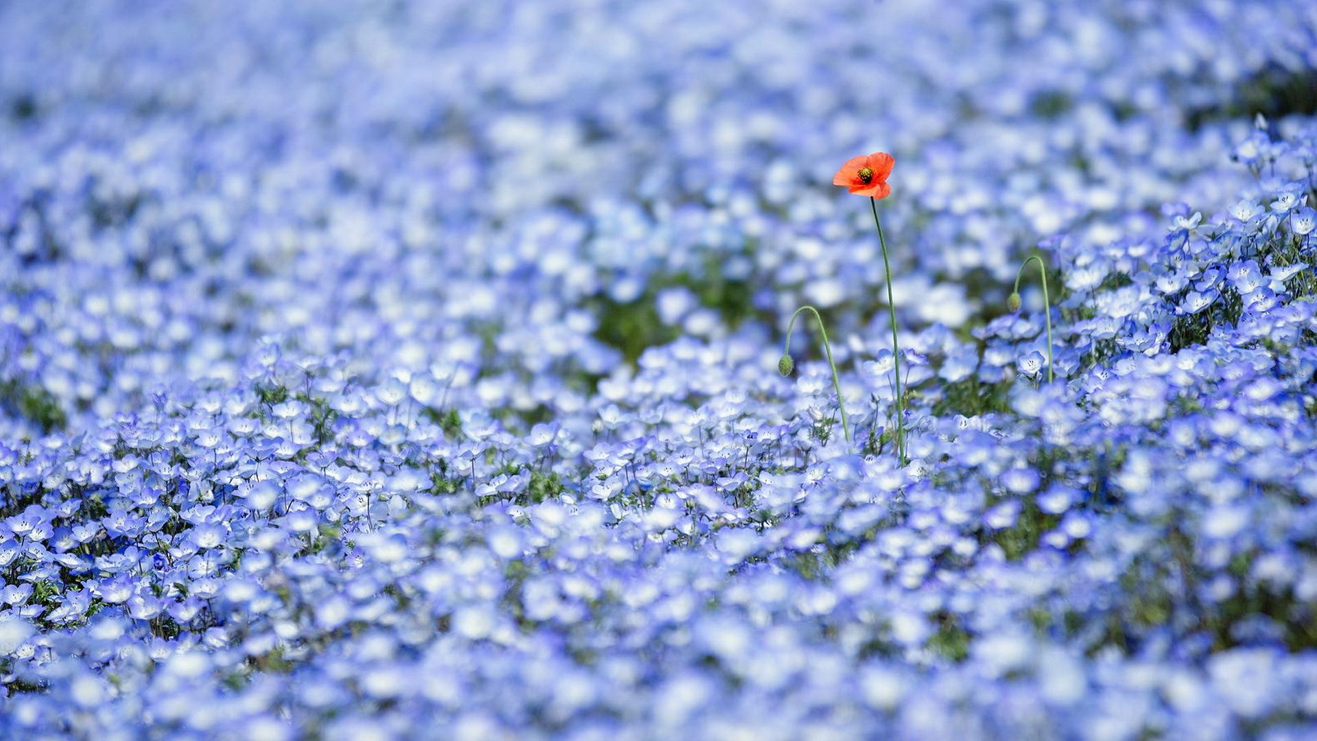 цветы природа незабудки бесплатно