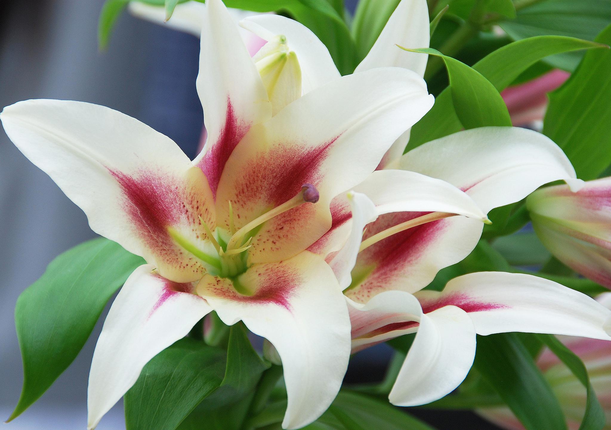 Фотообои лилии цветы фото