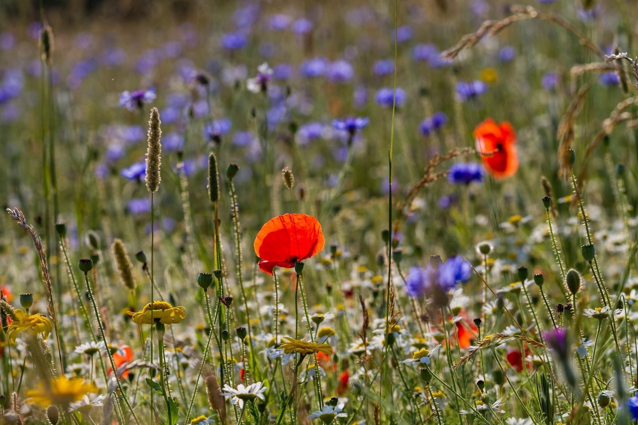 красные цветы трава ромашки природа  № 3836432 загрузить