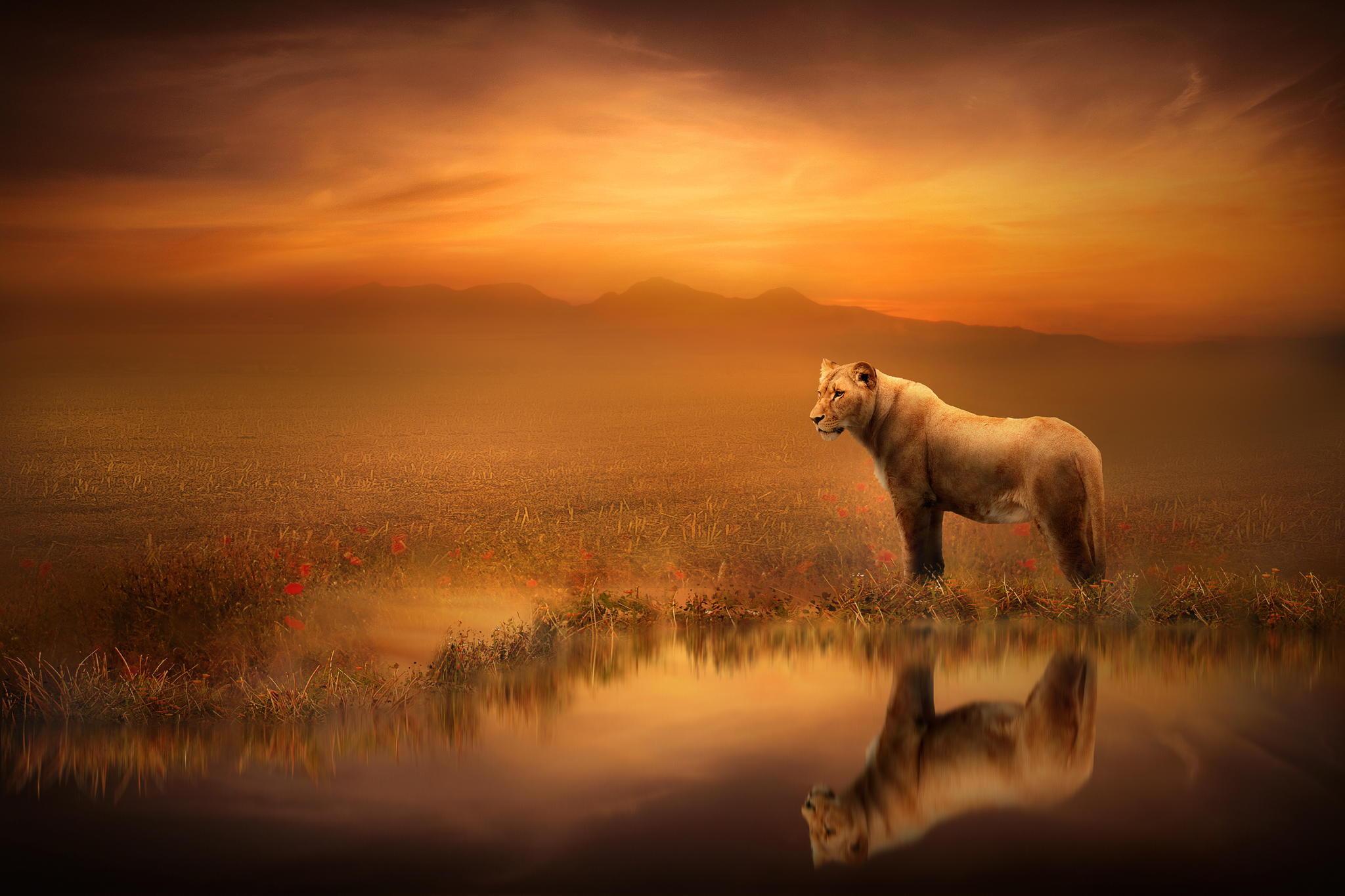 лев на закате бесплатно