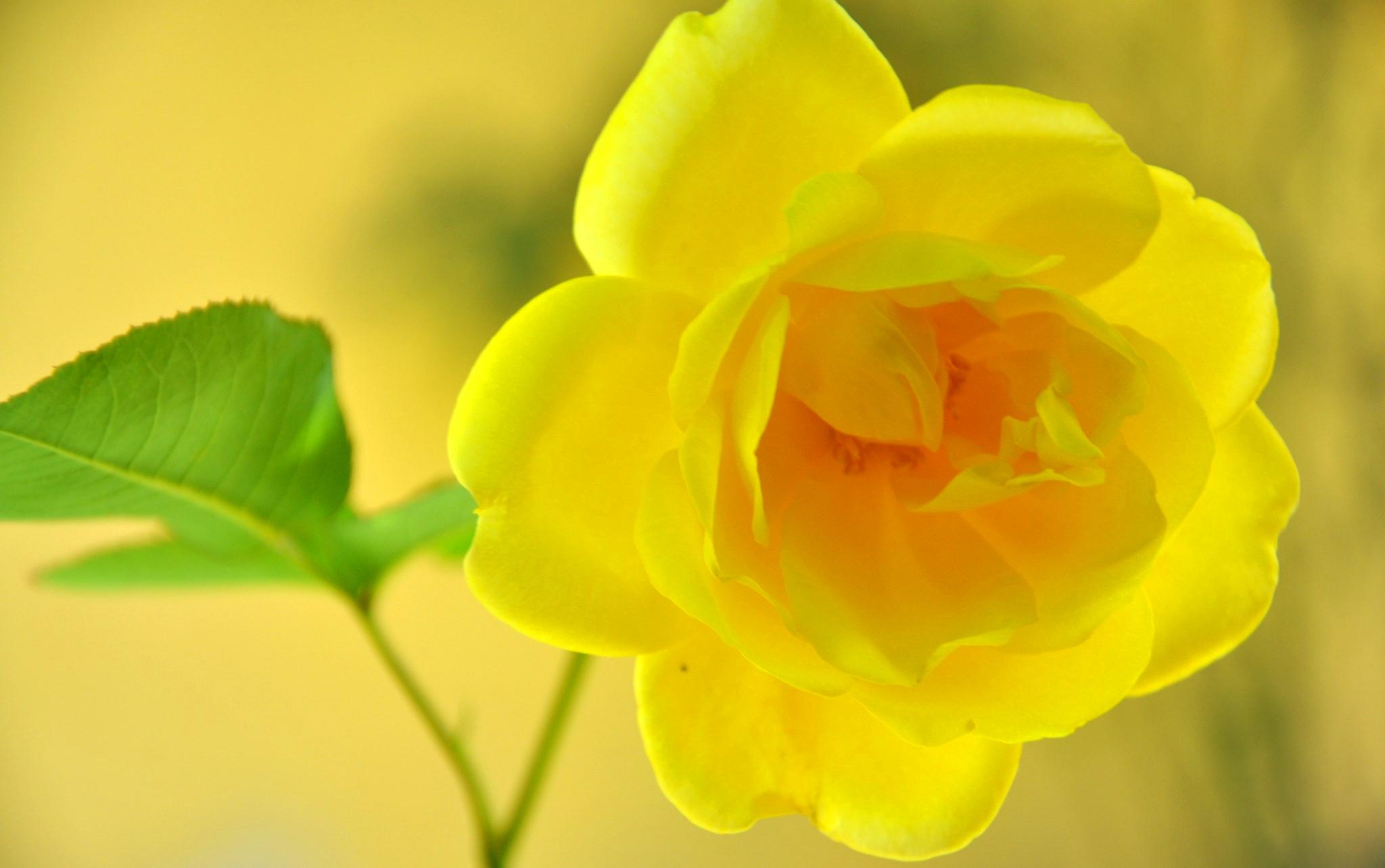 цветы макро желтые flowers macro yellow  № 910287  скачать