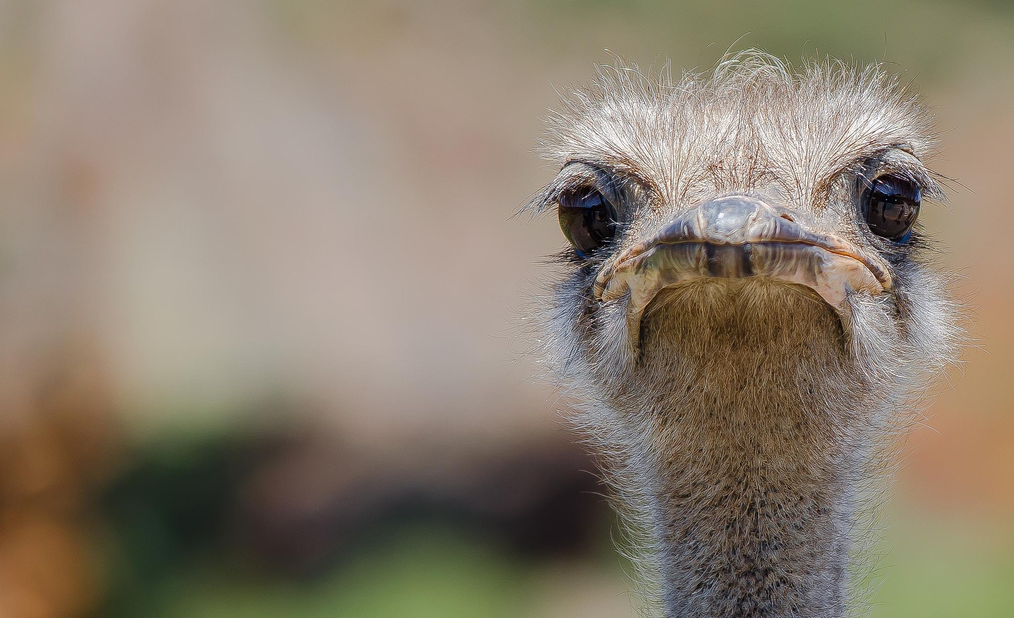Открытки страуса, смешных