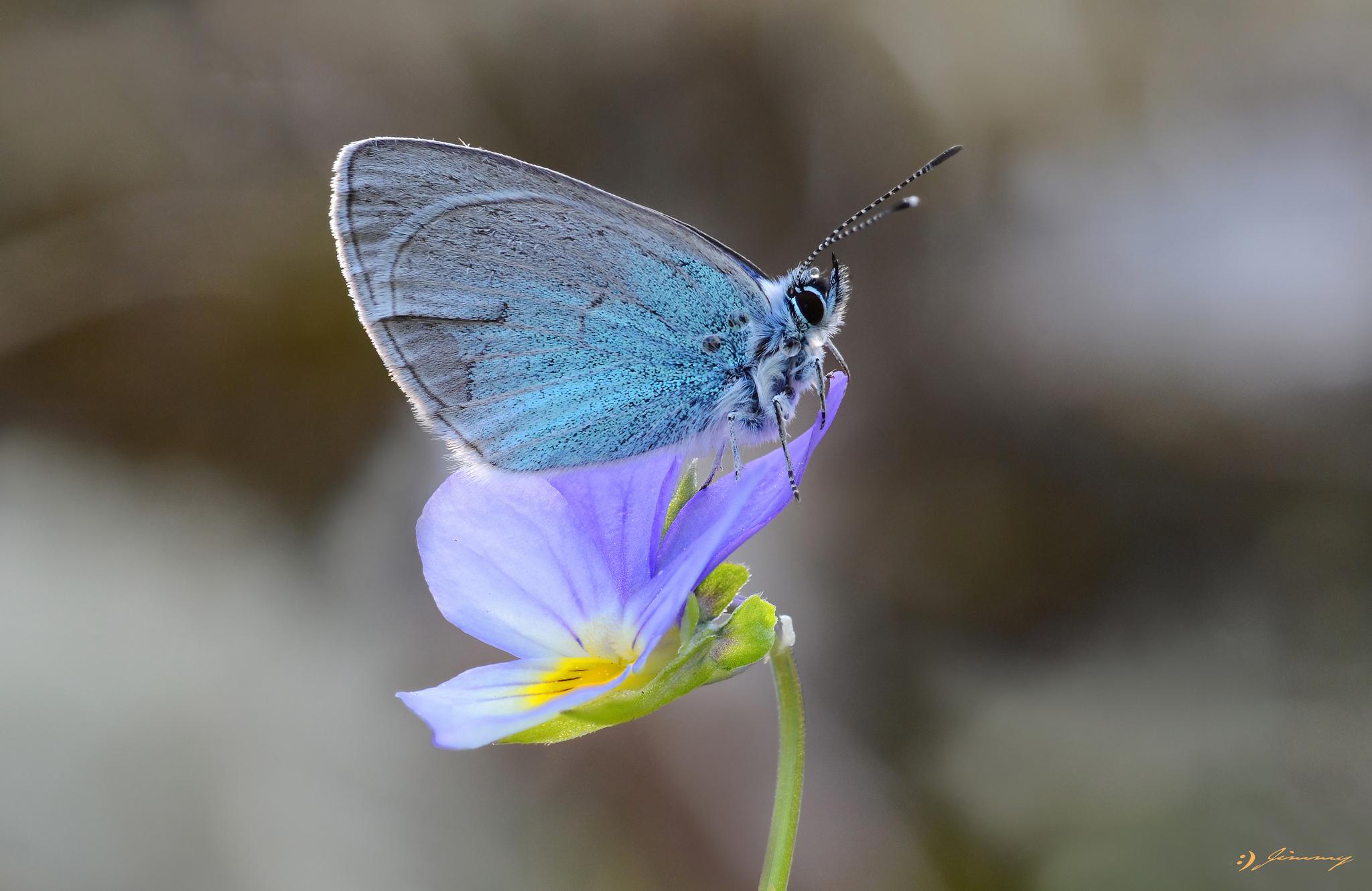 Бабочка голубая цветок макро бесплатно