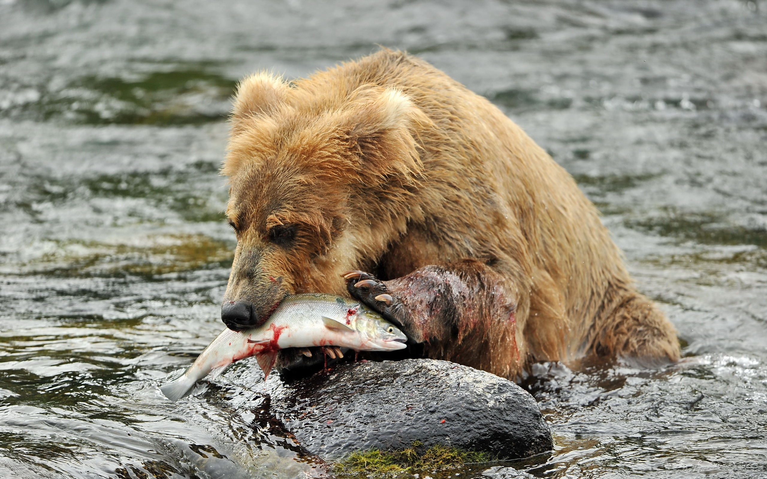 Pictures of bears fishing Fish-ty Cuffs: Stunning pictures show bears brawling over fishing