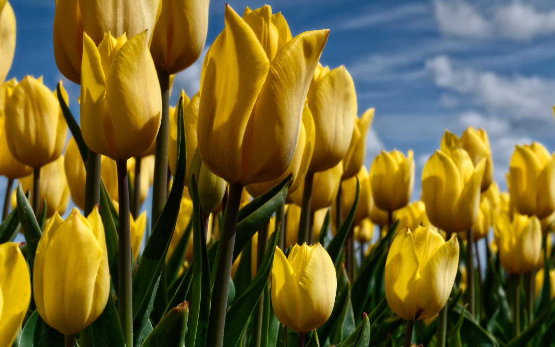 Желтые тюльпаны в картинках