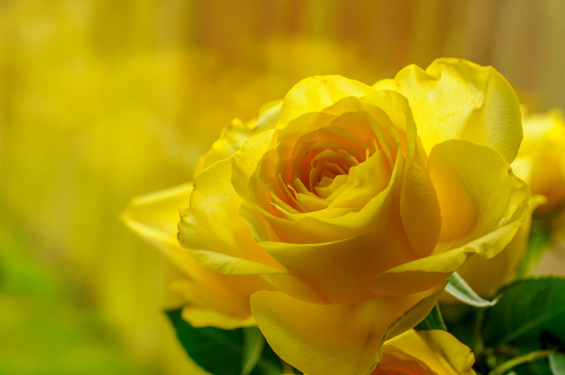 Картинка самой красивой желтой розы