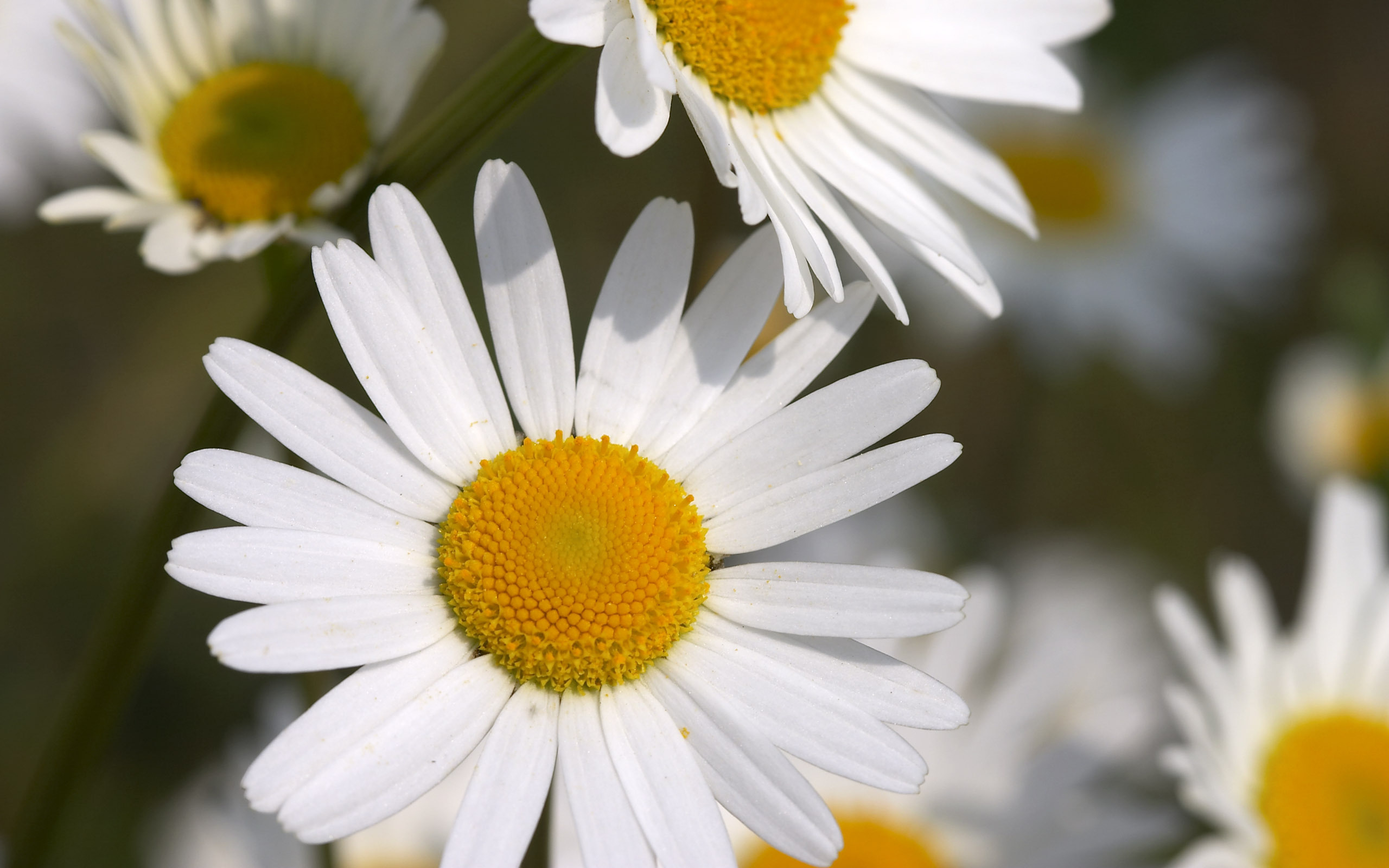 цветы белые ромашки скачать