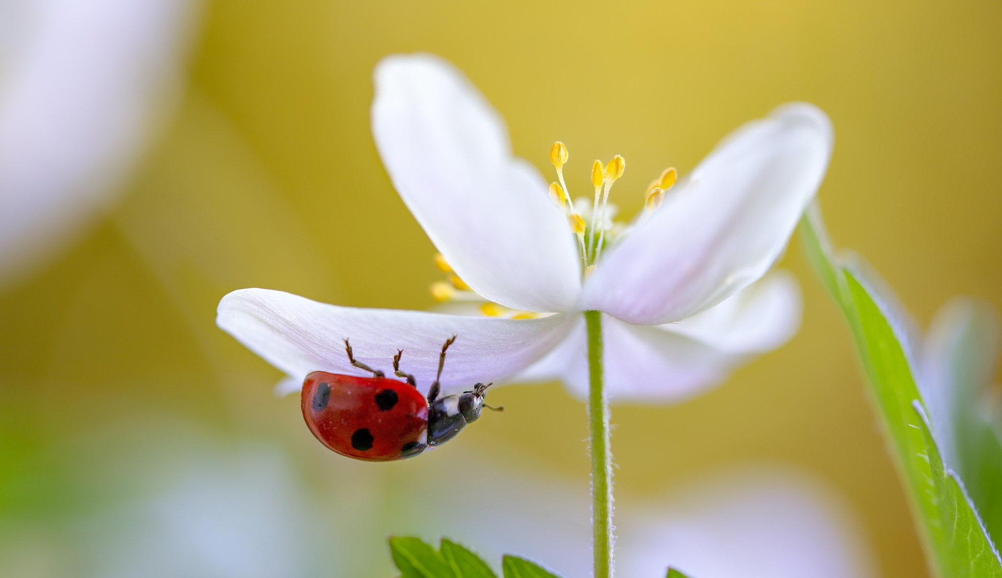 природа насекомое божья коровка цветок  № 3008115 загрузить