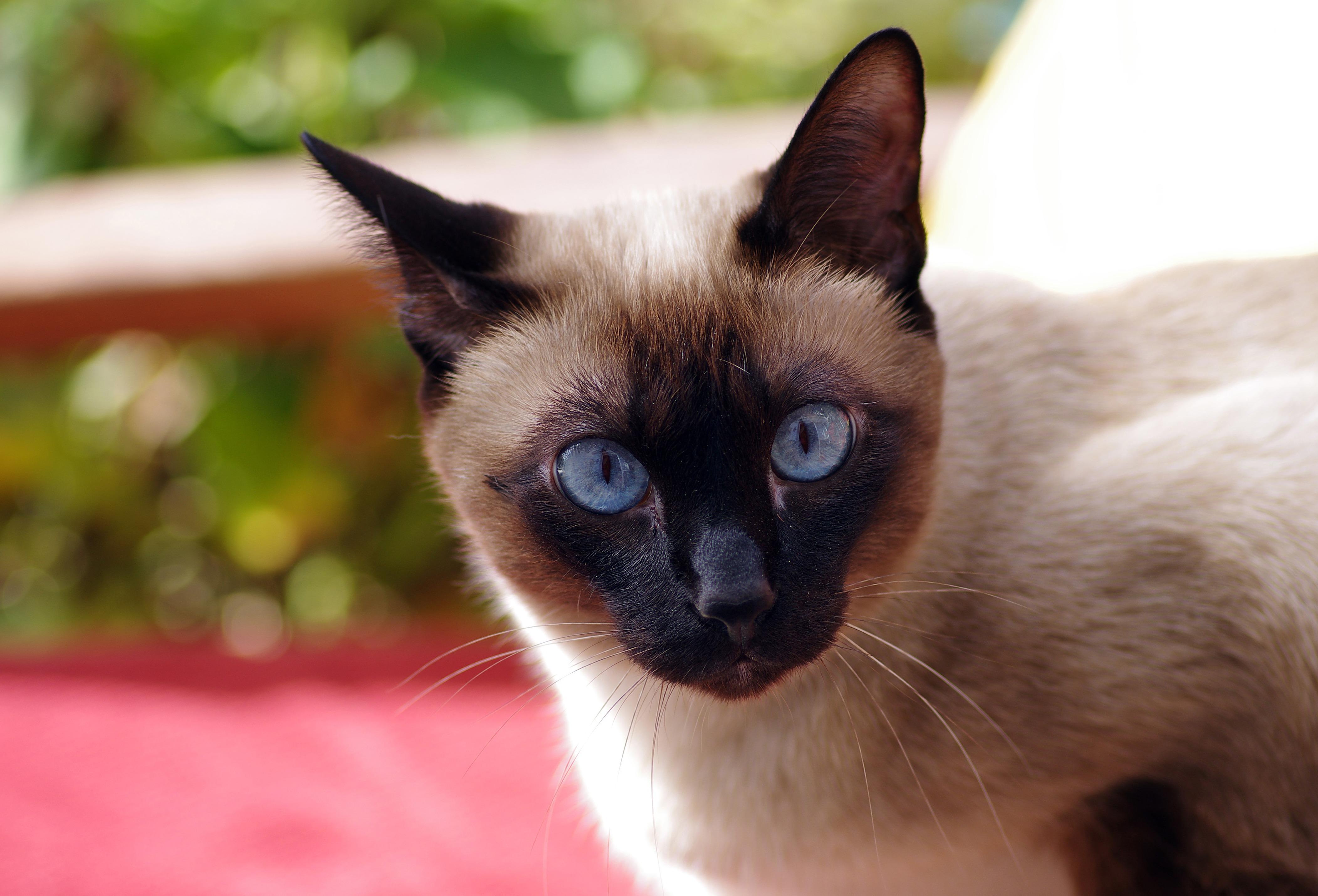 брюнетка картинки кошек красивые сиамские кошки определяет главного