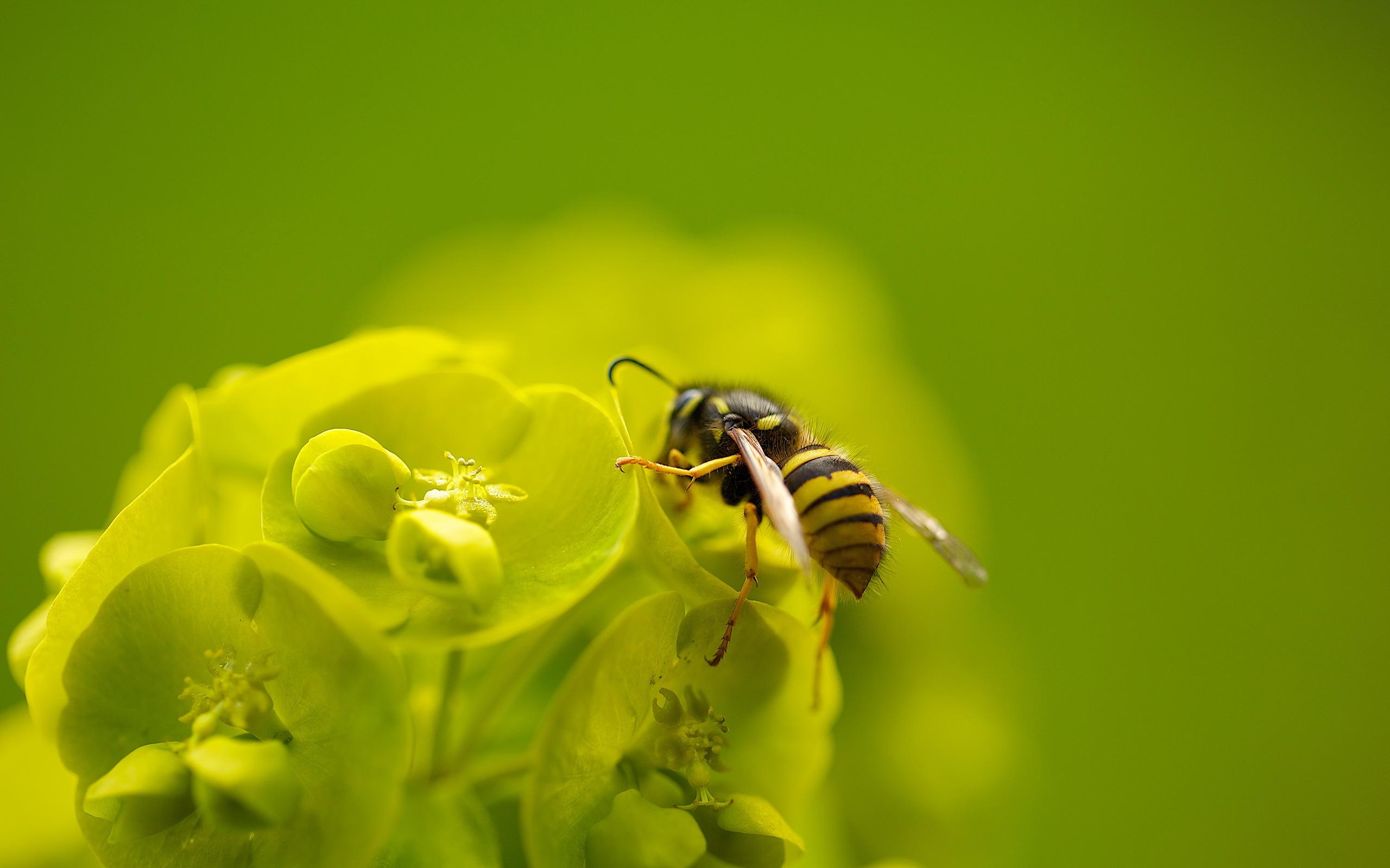 макро одуванчик животное насекомое пчела цветы природа  № 3007265 загрузить