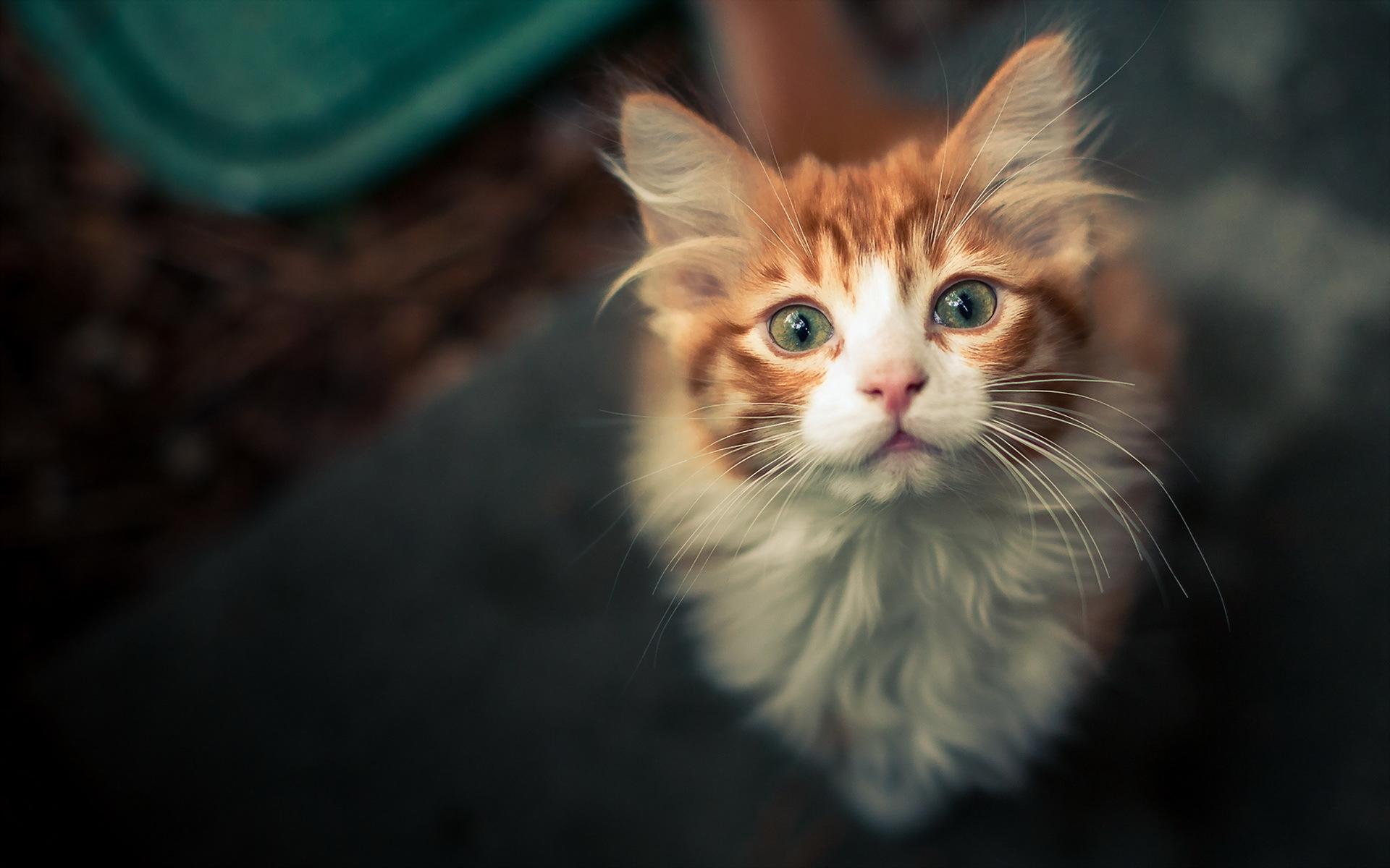 Котенок смотрящий вверх без смс