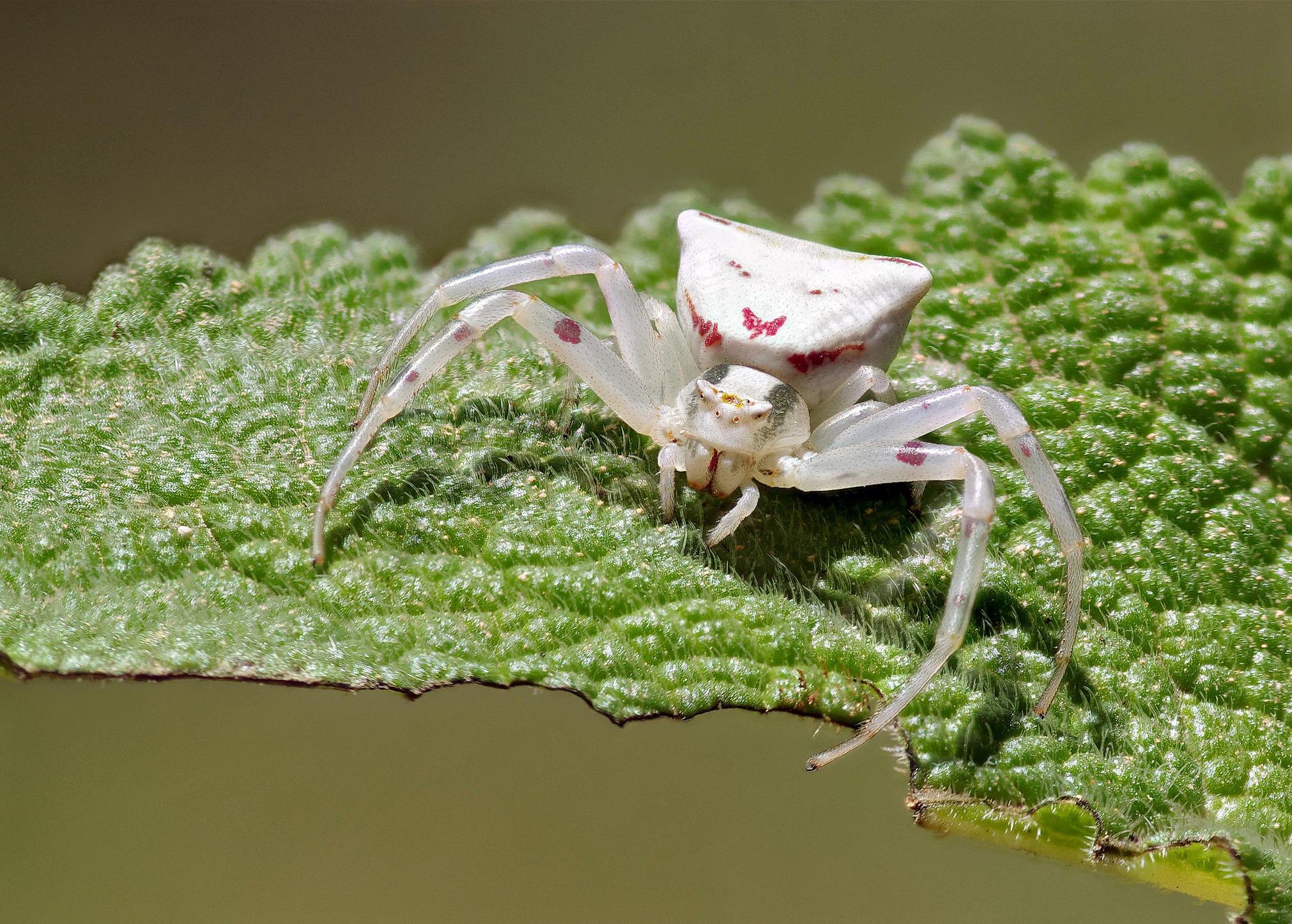 Обои насекомое, паук, лист. Макро foto 18