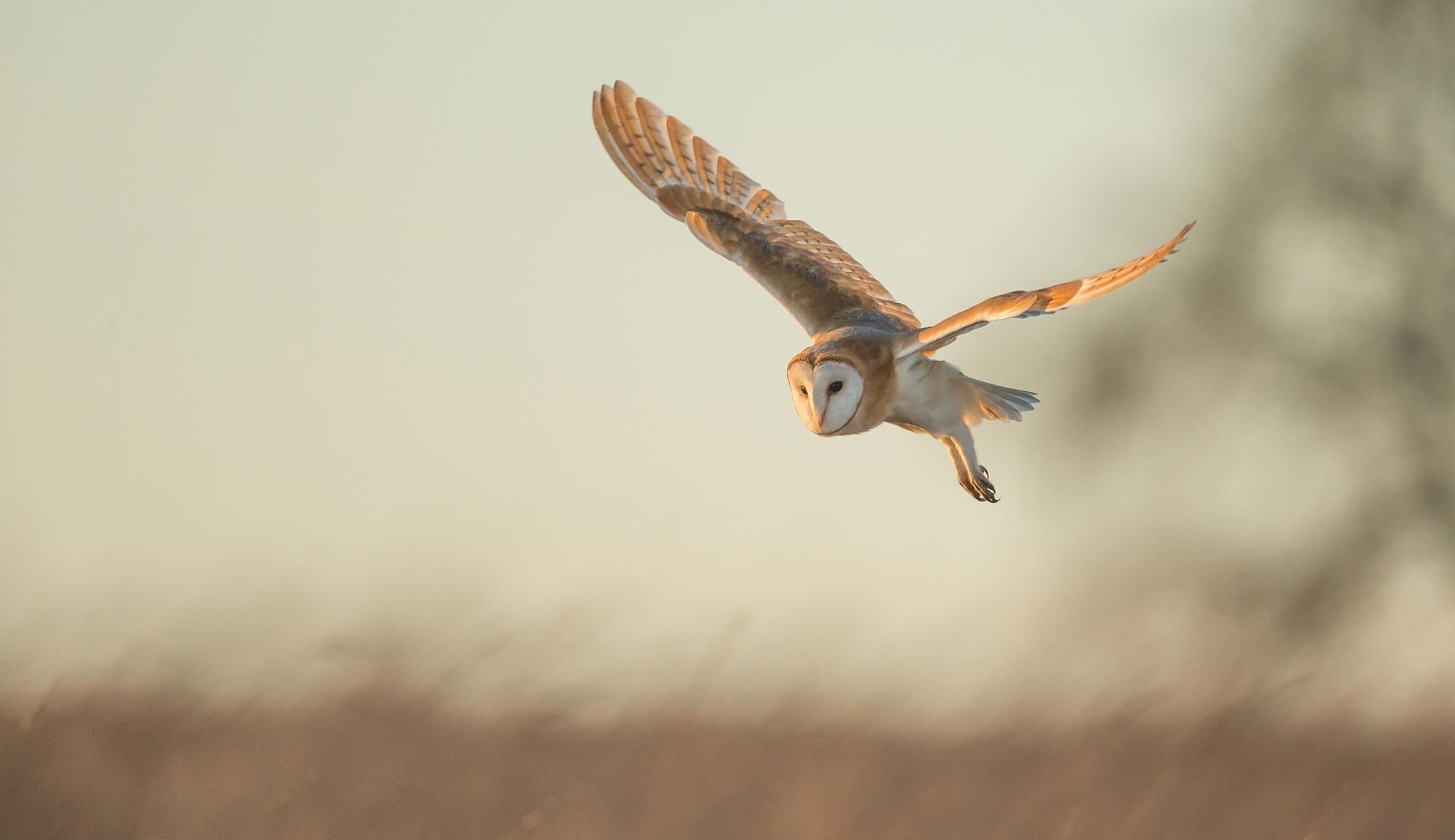 Летящая сова  № 481208 без смс