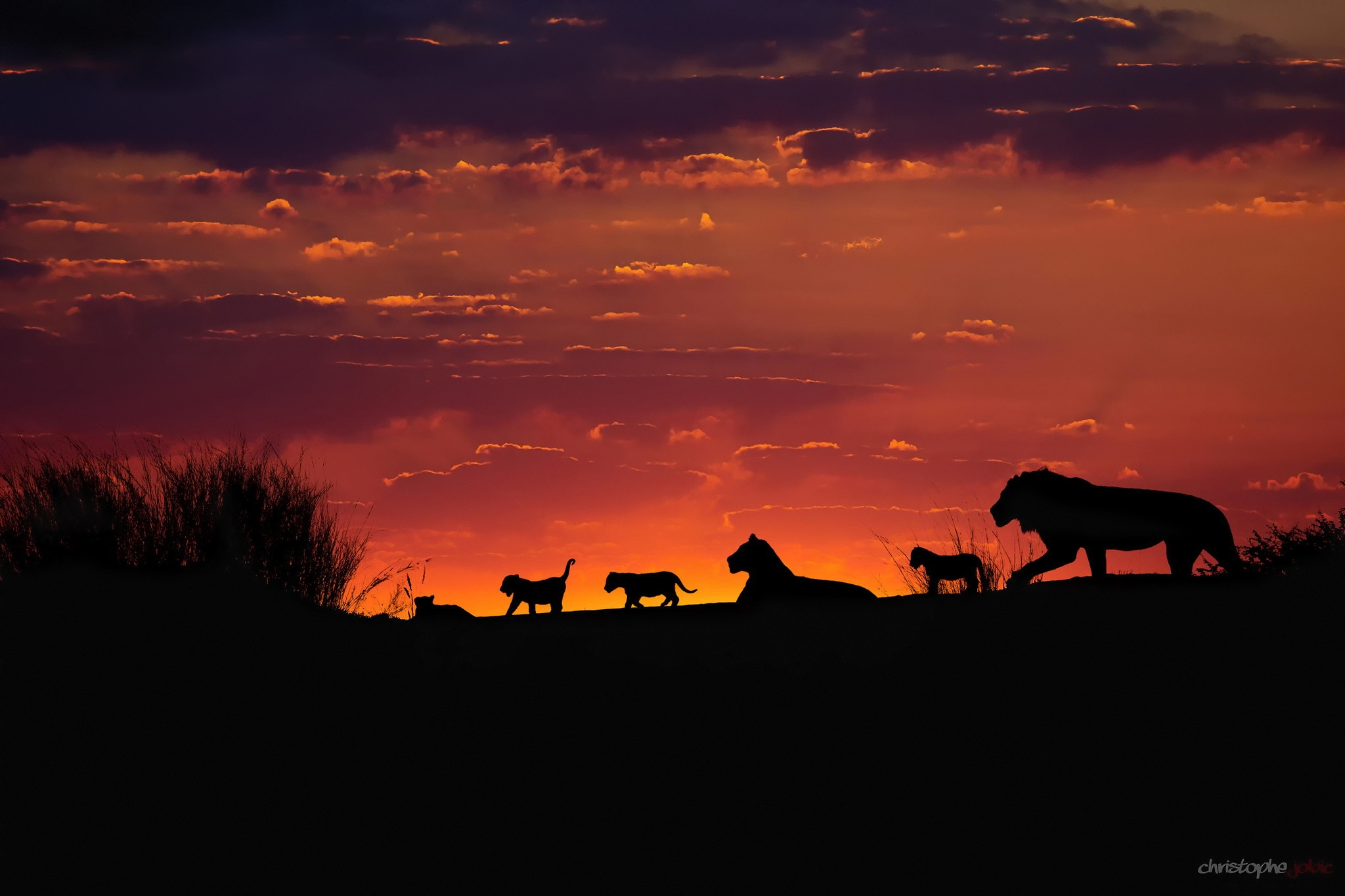лев на закате скачать