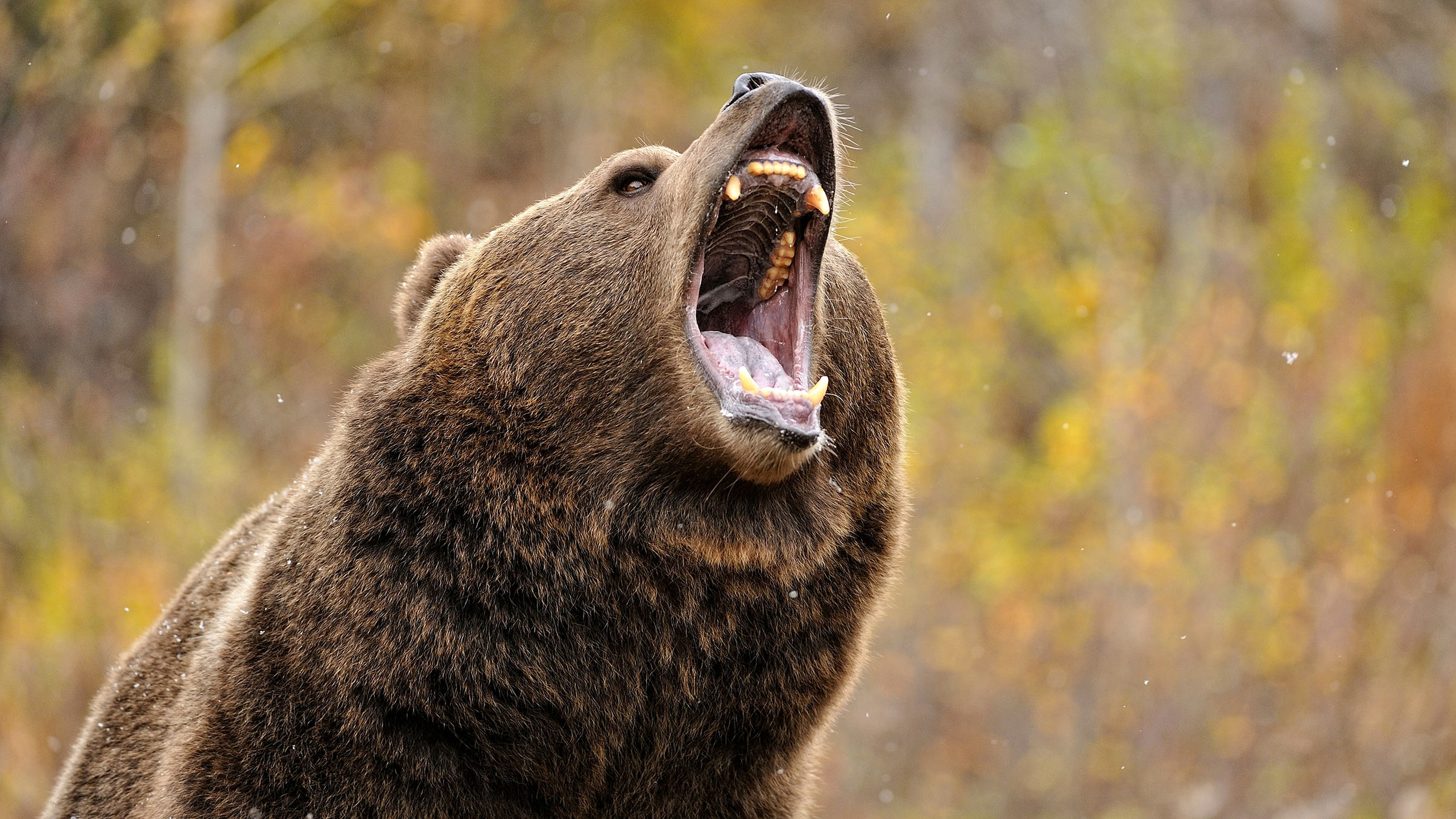 Grizzly bear nose
