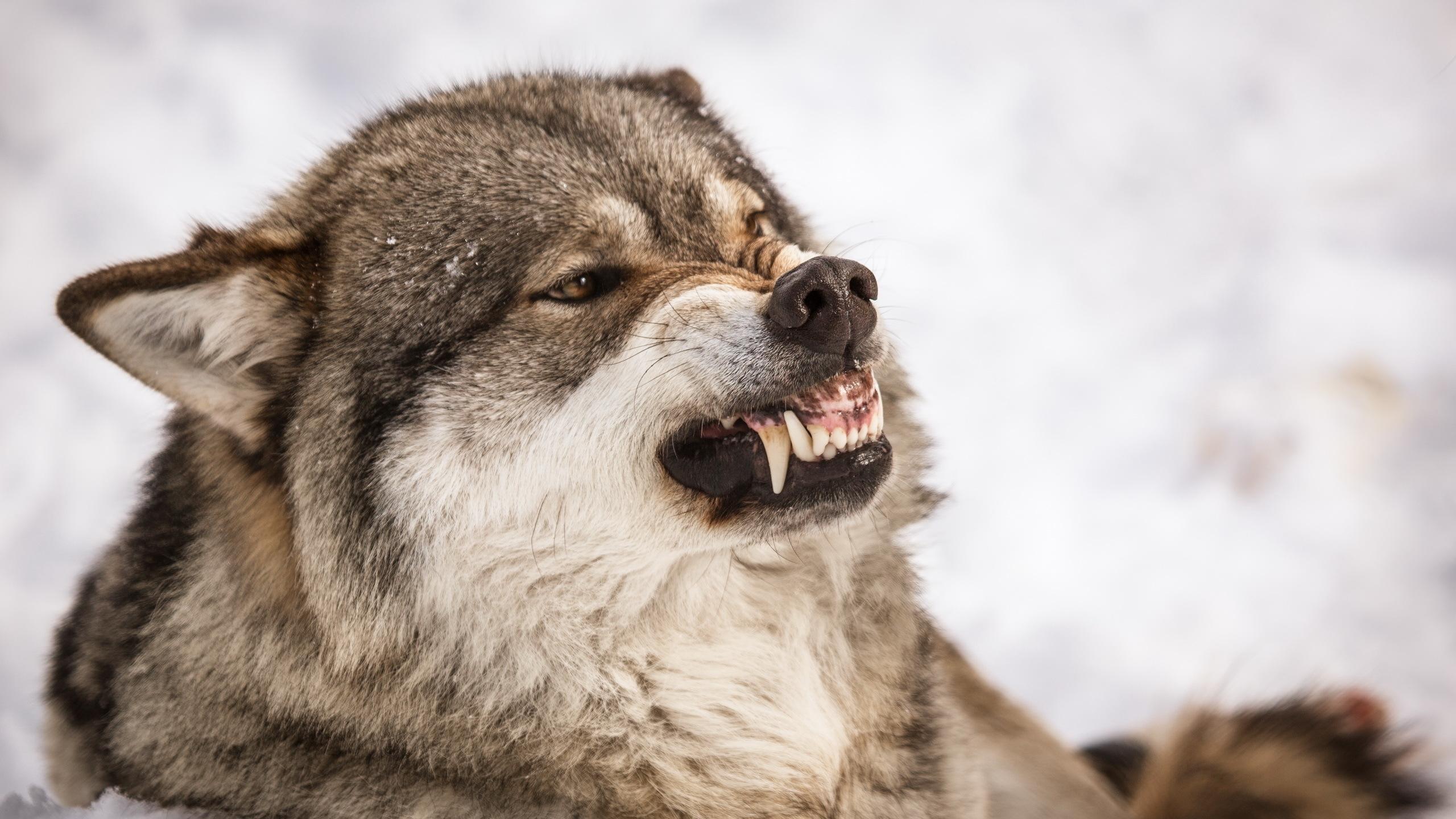 Смешной, фото волков на рабочий стол