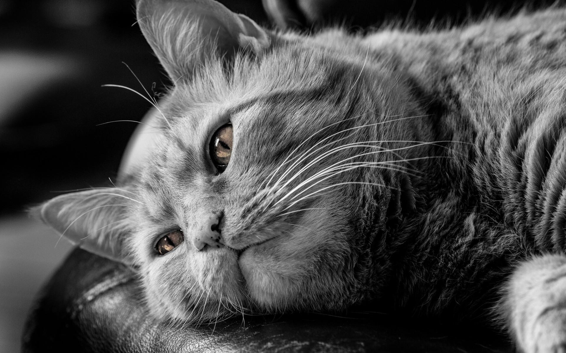Картинка на рабочий стол морда кошки черно-белое