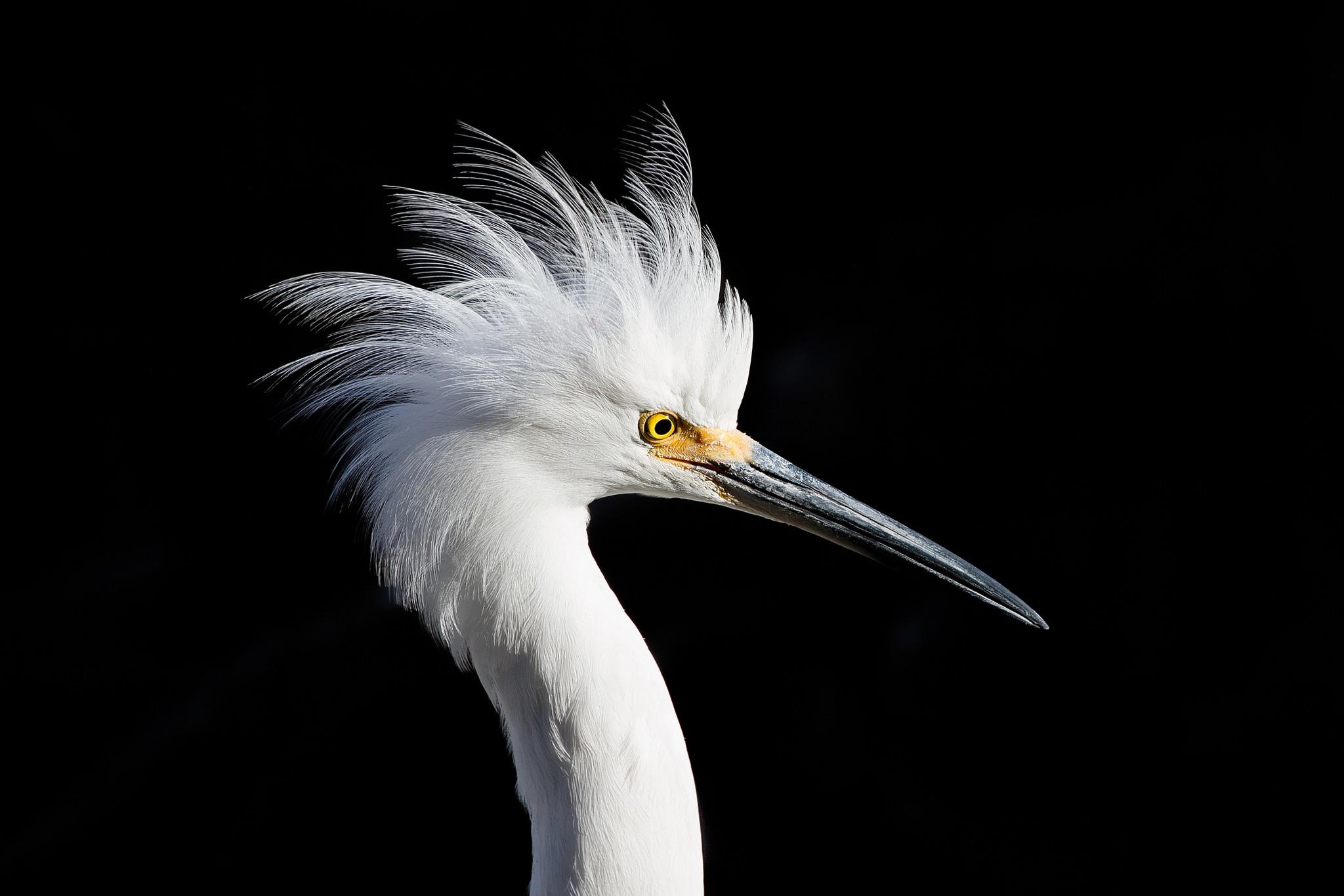 зубы доступной фото птиц на черном фоне гостиную