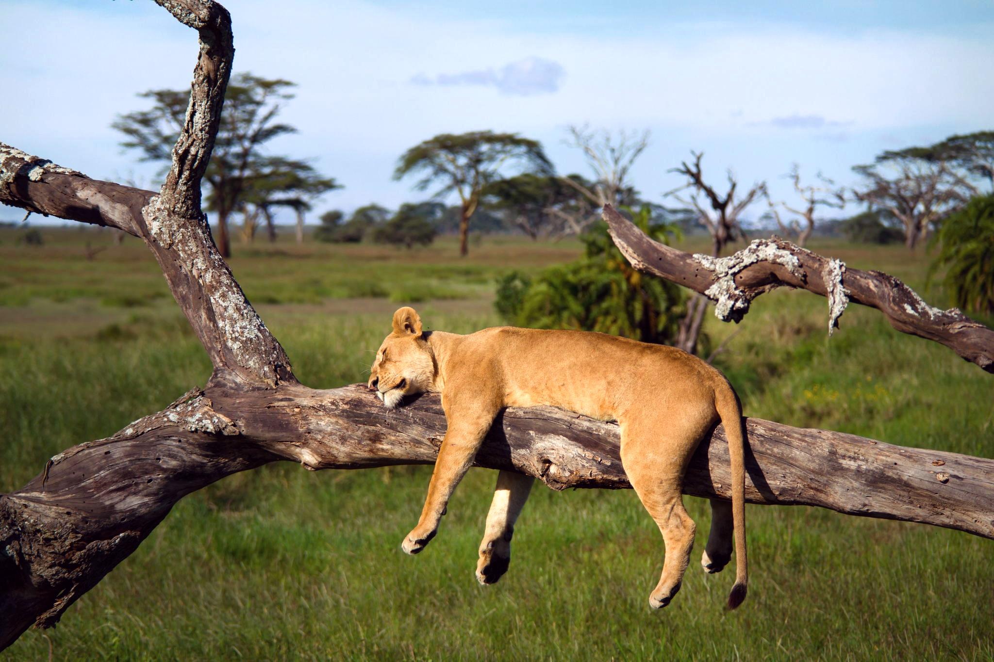 природа животные Гепарды камни трава дерево горизонт  № 276740  скачать