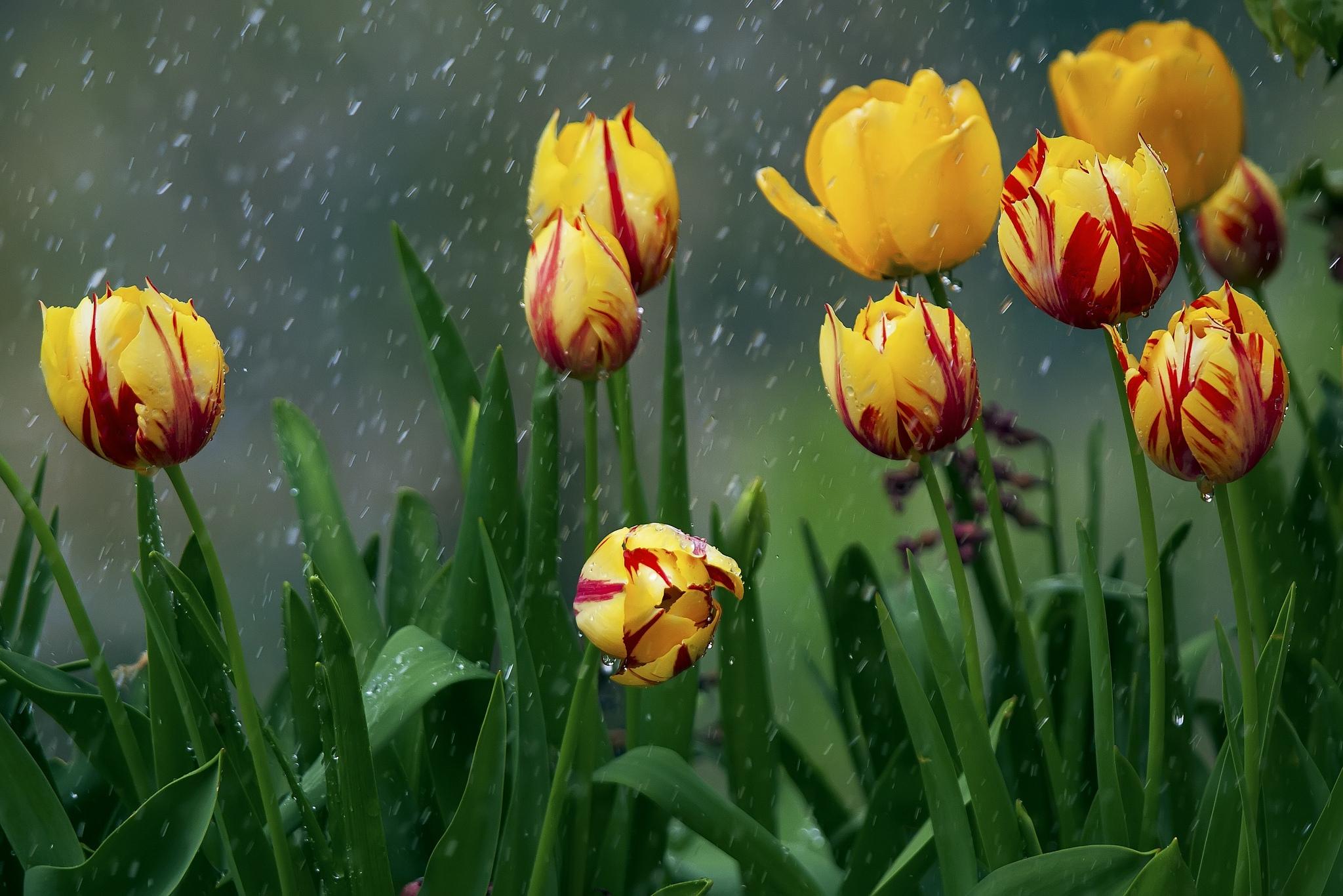 Тюльпаны после дождя фото высокого разрешения