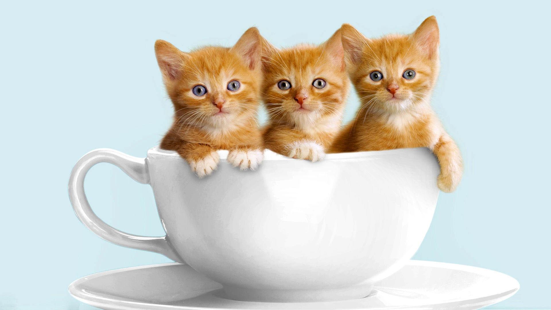 Кот в миске  № 2002135 без смс