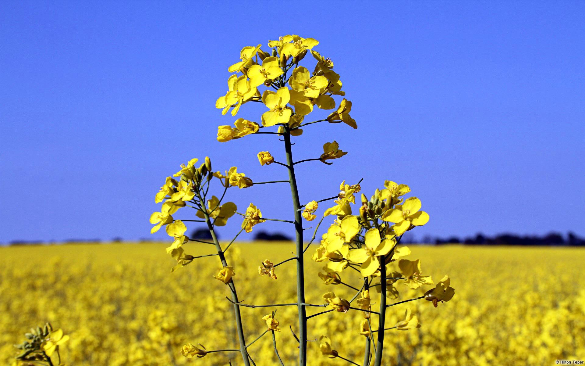 рапс фото растение поиск организаций