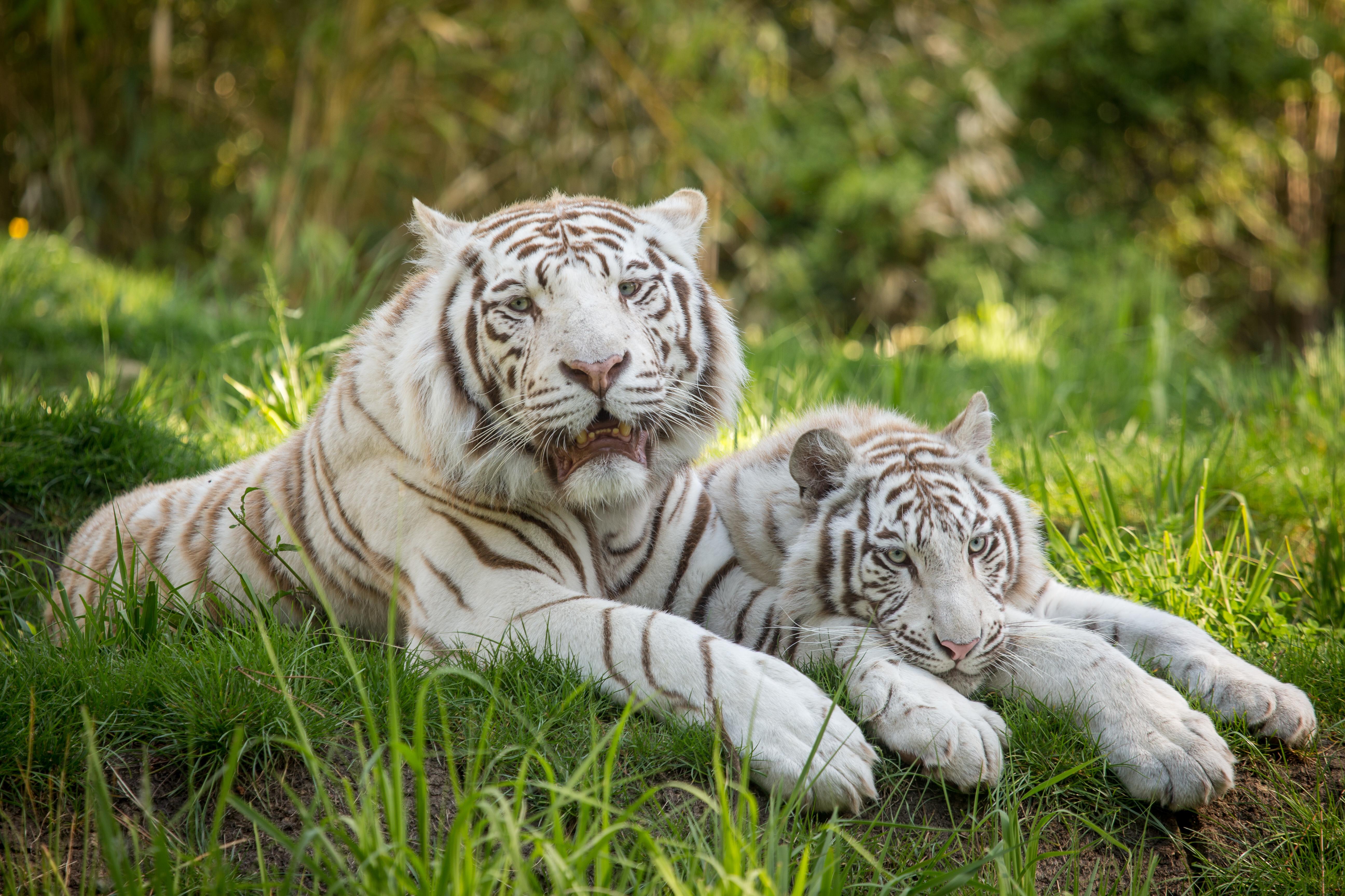 купить красивые картинки на стол тигры белые декорировании