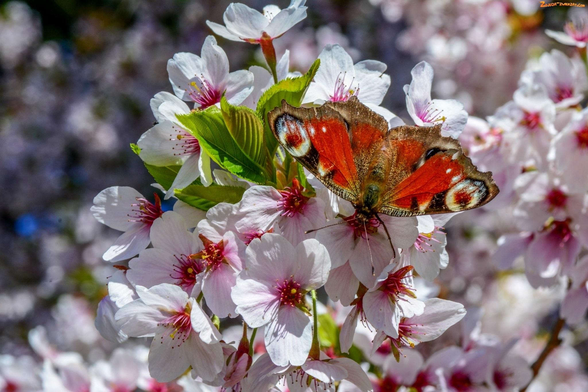 Шмель на цветущей ветке  № 1283658  скачать