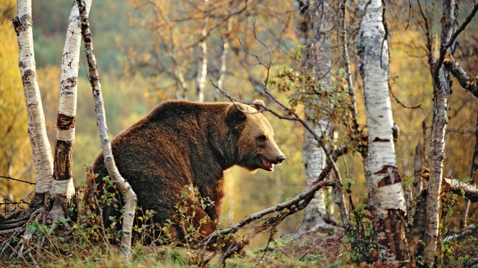 продаются фото медведи осень отказаться добавления сливочного