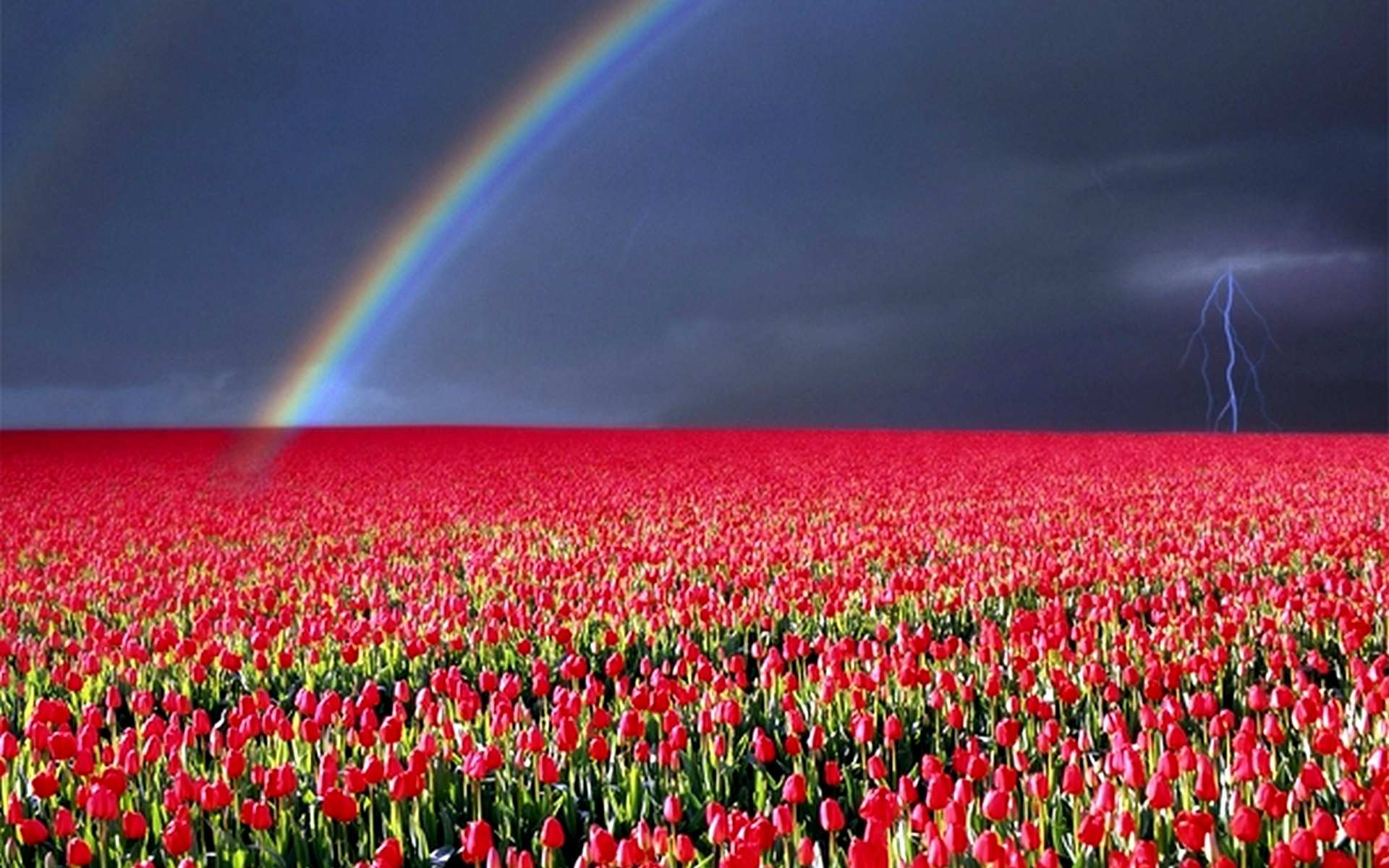 представляют собой тюльпаны после дождя фото высокого разрешения темно зеленый