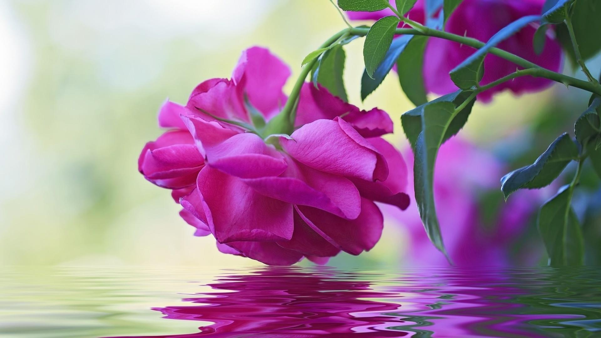 Роза из воды смотреть