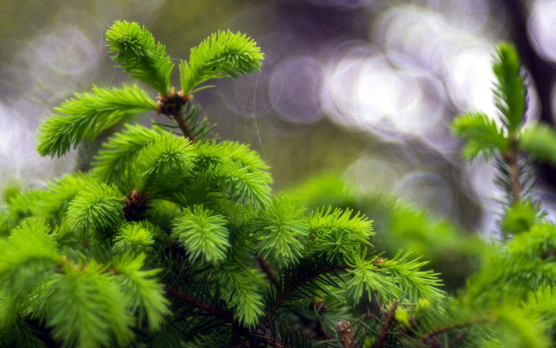 природа деревья ель  № 316119 бесплатно