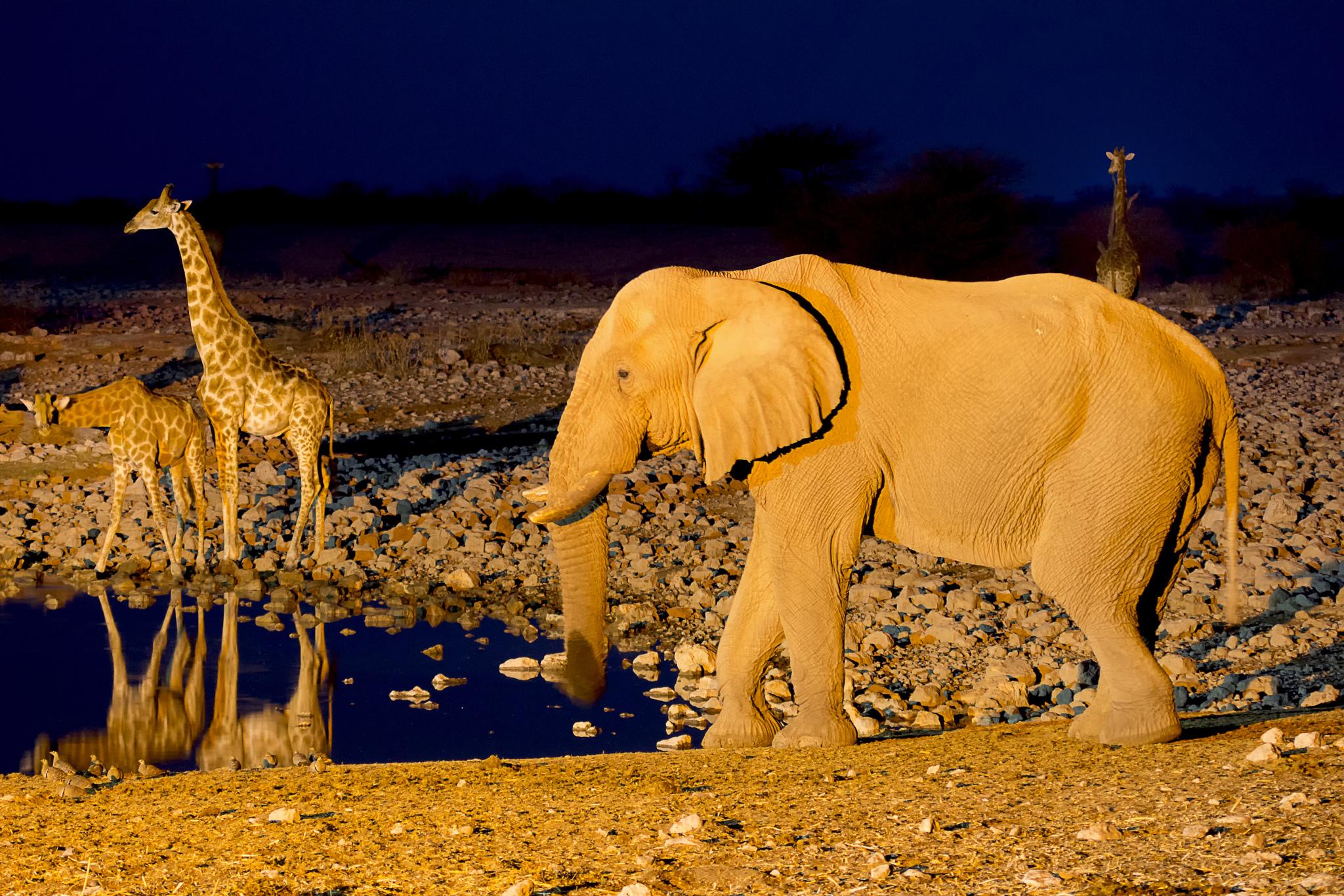 Thirsty Giraffes, Etosha National Park, Namibia  № 1442712 без смс