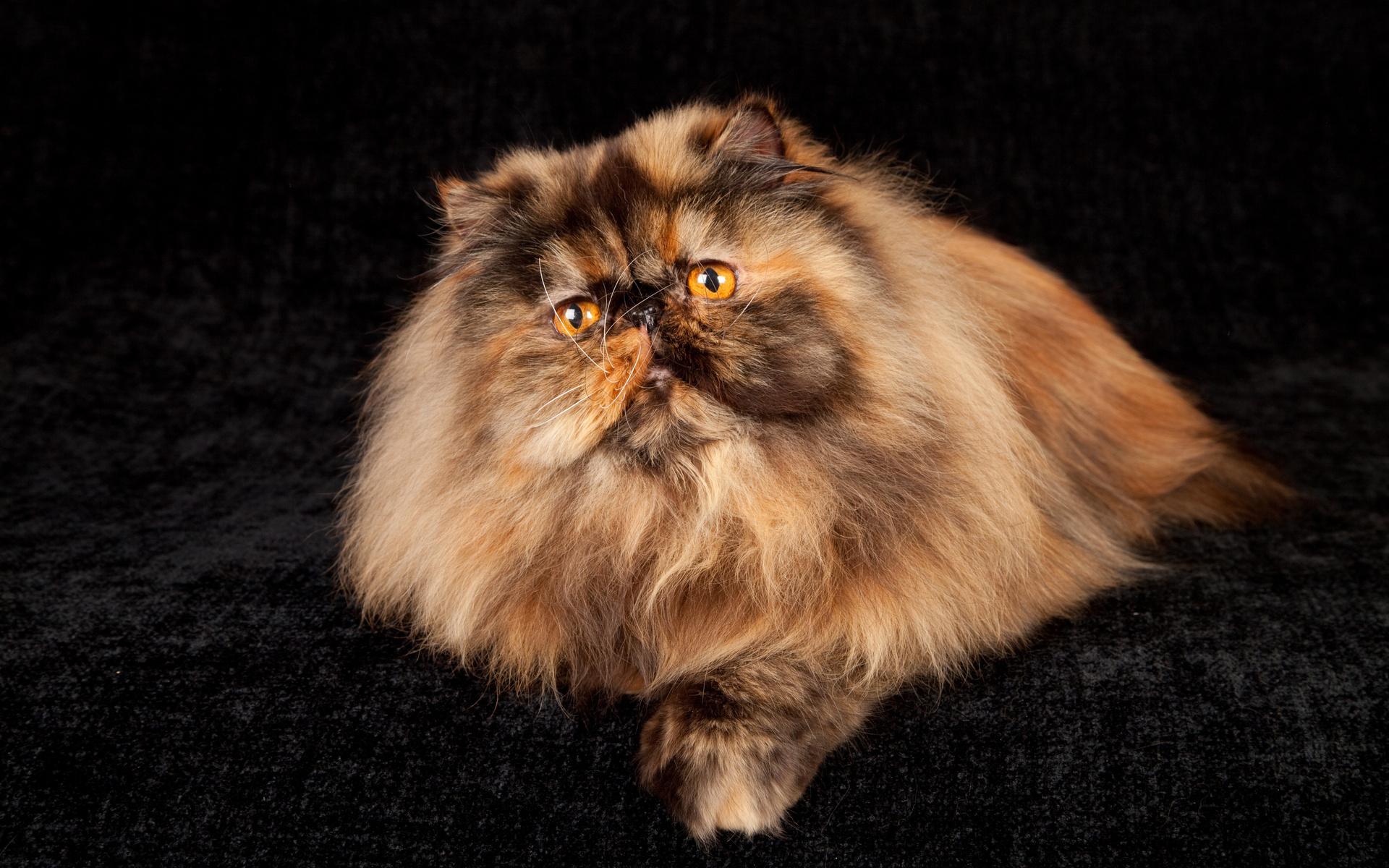 Надписью орех, персидский кот в картинках