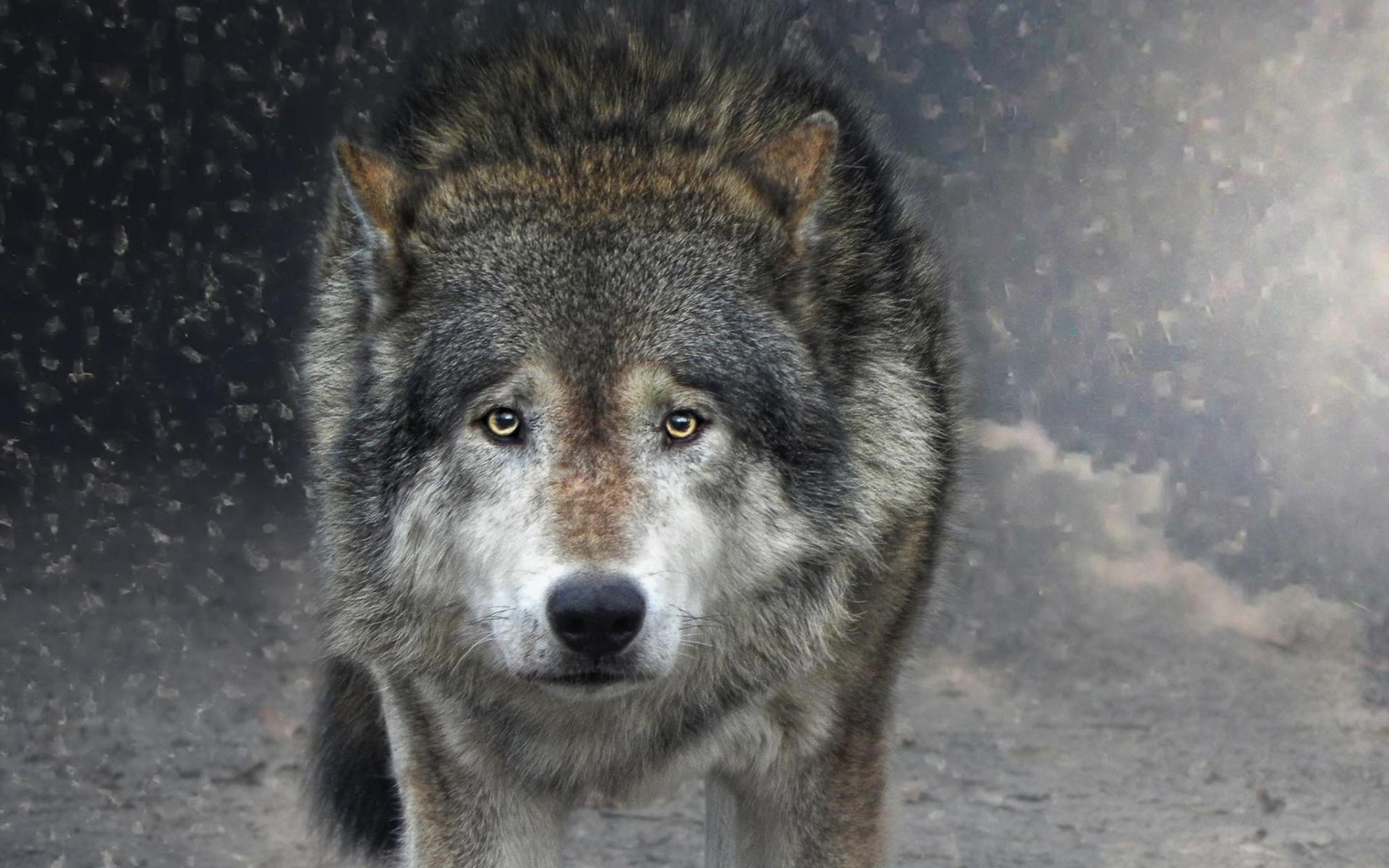 Открытки, картинки взгляд волка