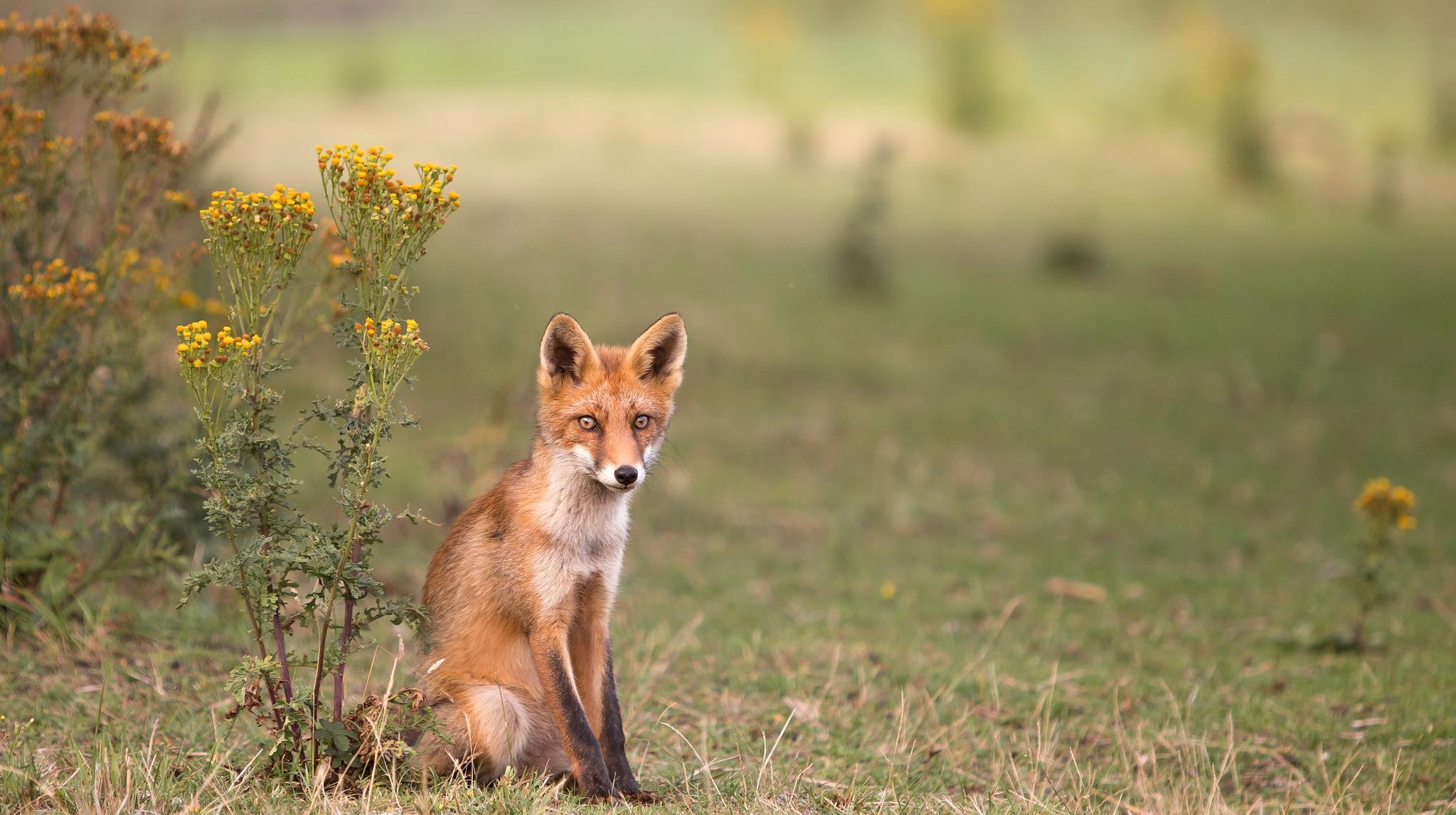 картинки лисы в лесу летом летних блузок для