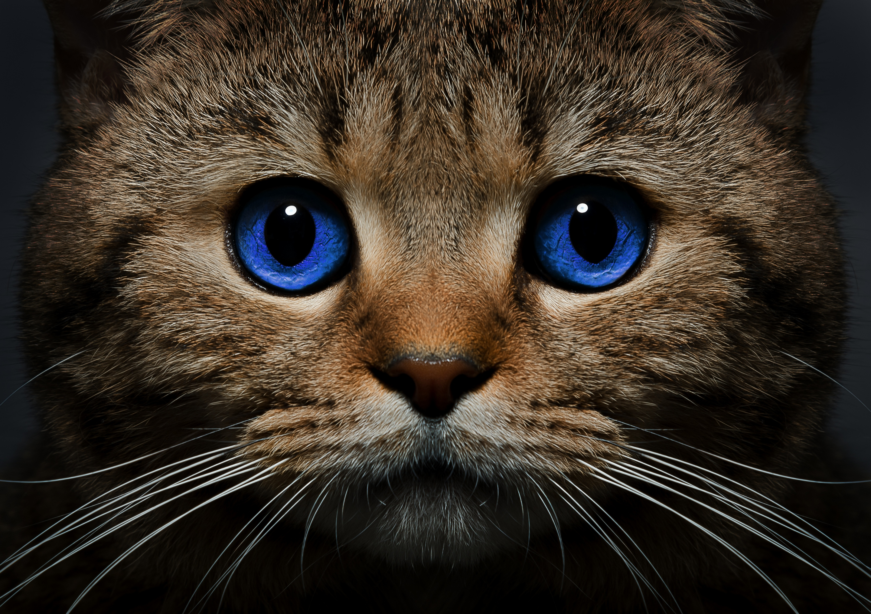Голубоглазые кота  № 3010570 бесплатно