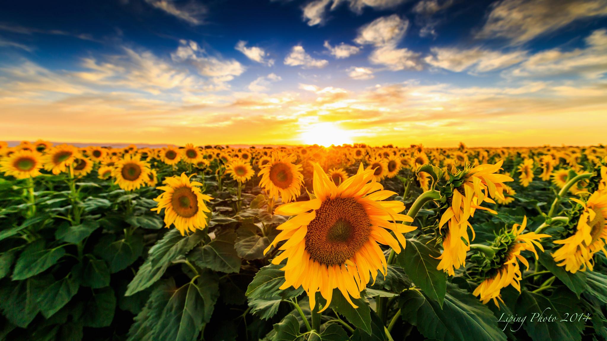 природа цветы подсолнечник  № 2671812 бесплатно