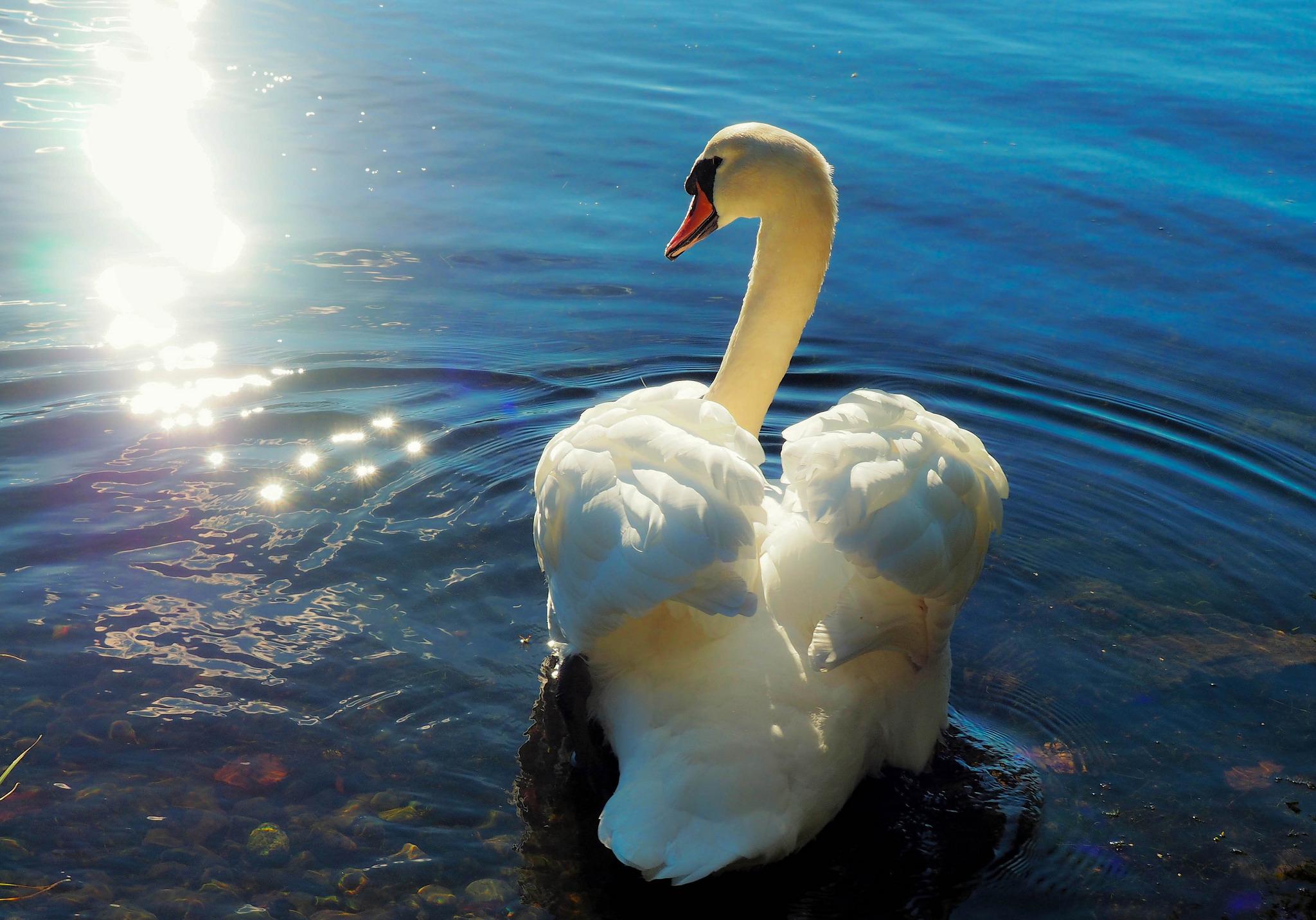 Открытки лебеди фото