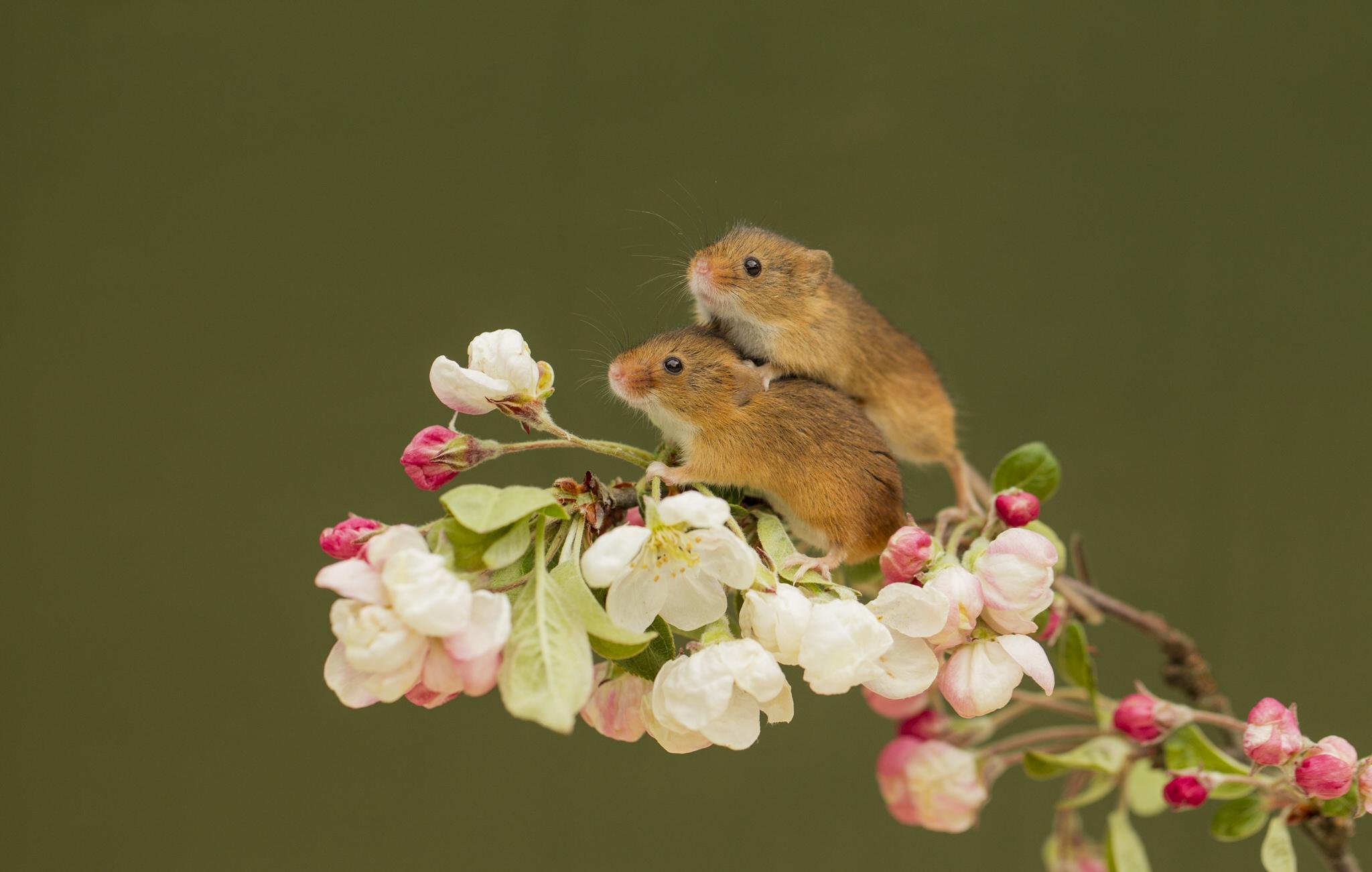 Мышки с цветами фото