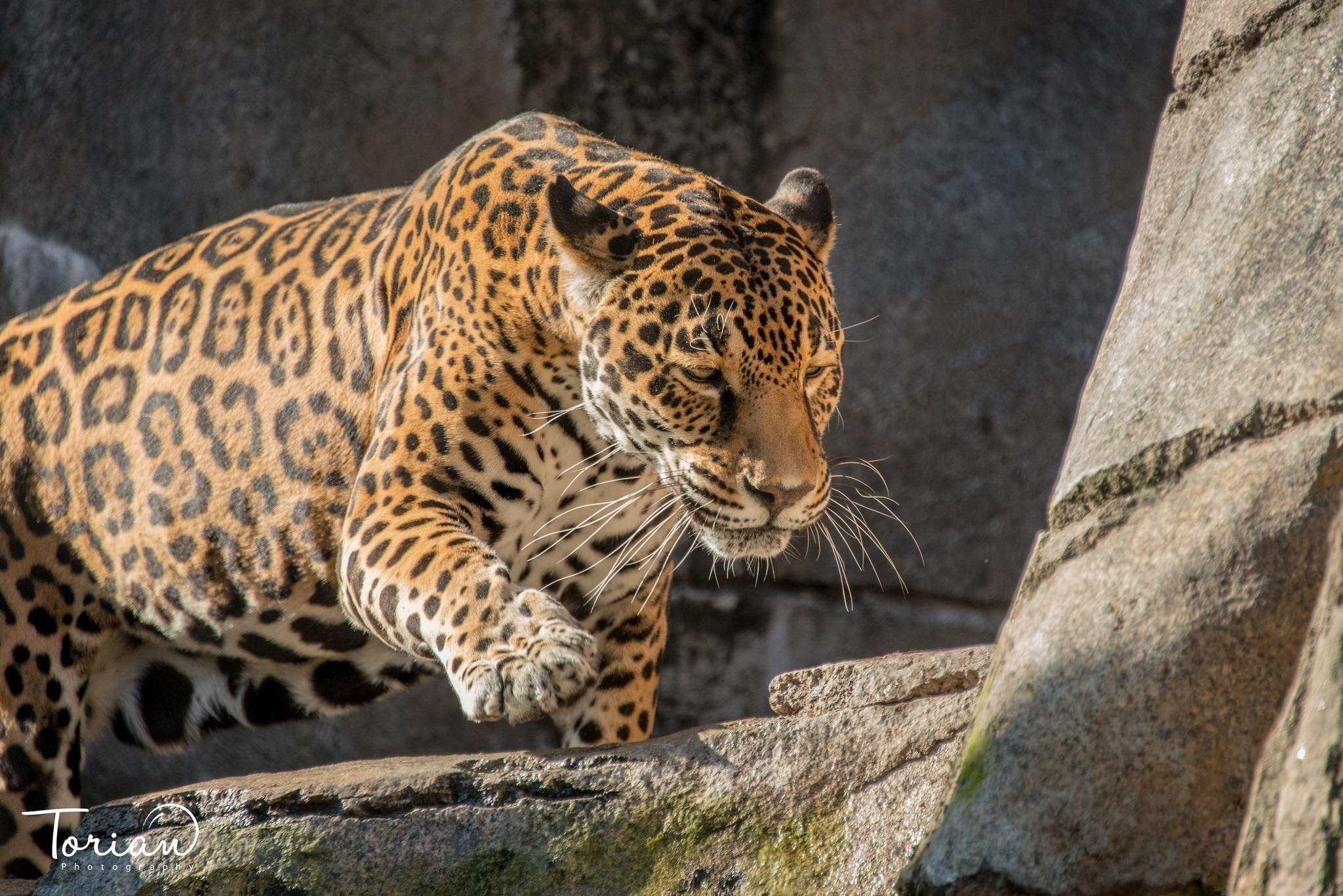 Ягуар хищник взгляд камни  № 3658038  скачать