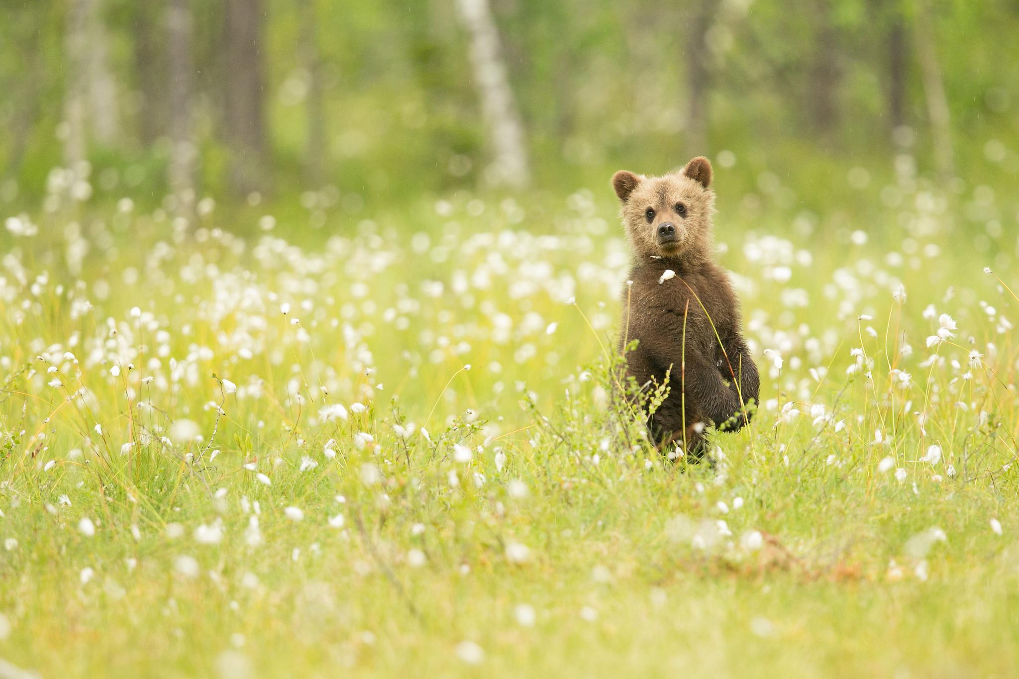 Медвежата скачать