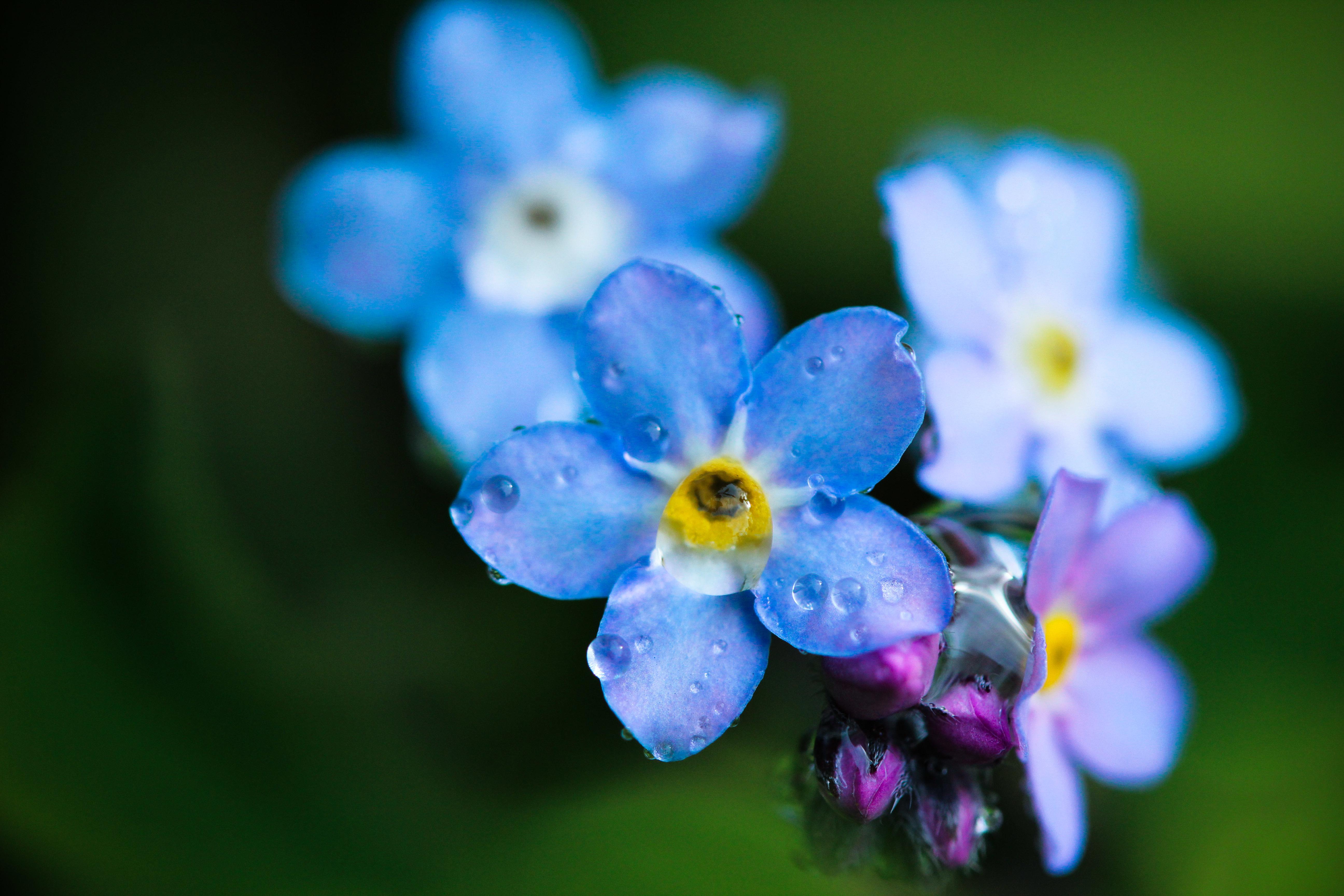 Цветы голубые незабудки  № 1333993  скачать