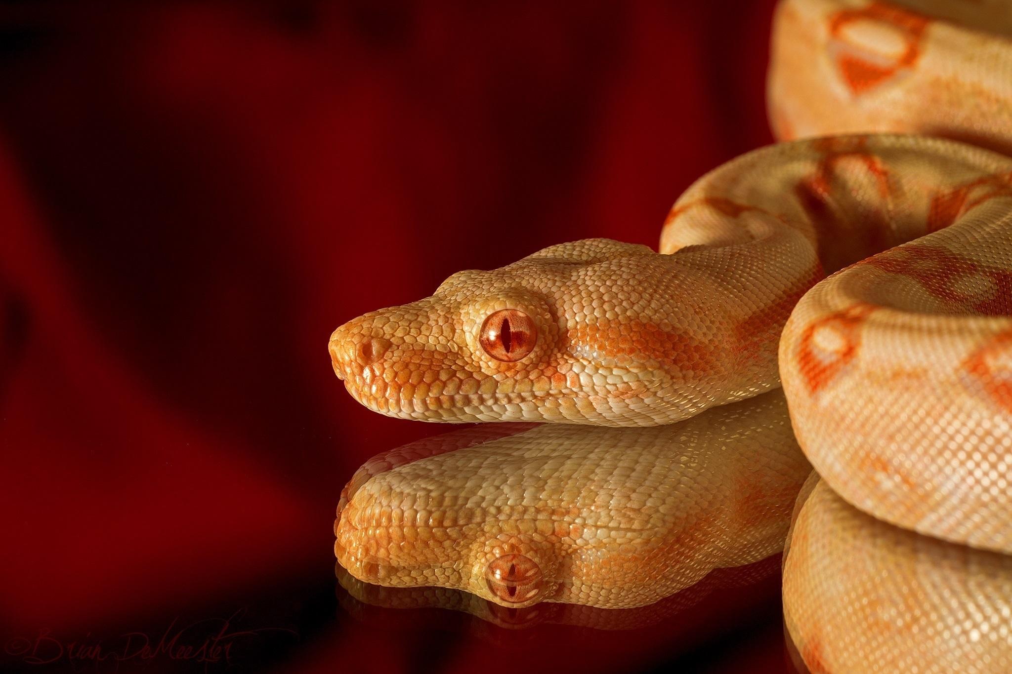 змея белая язык животное без смс